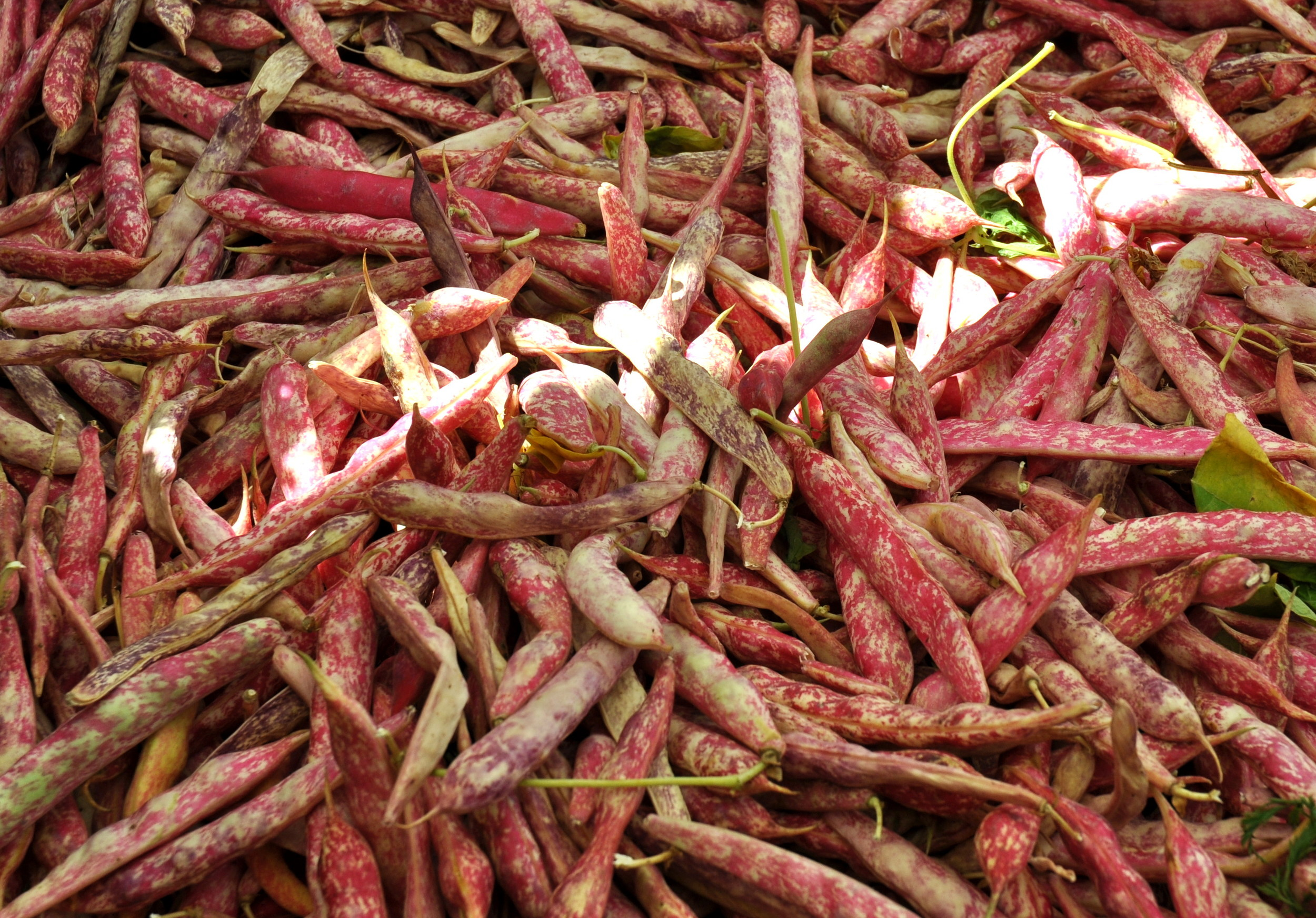 Fresh cranberry beans from Alm Hill Gardens. Photo copyright 2013 by Zachary D. Lyons.