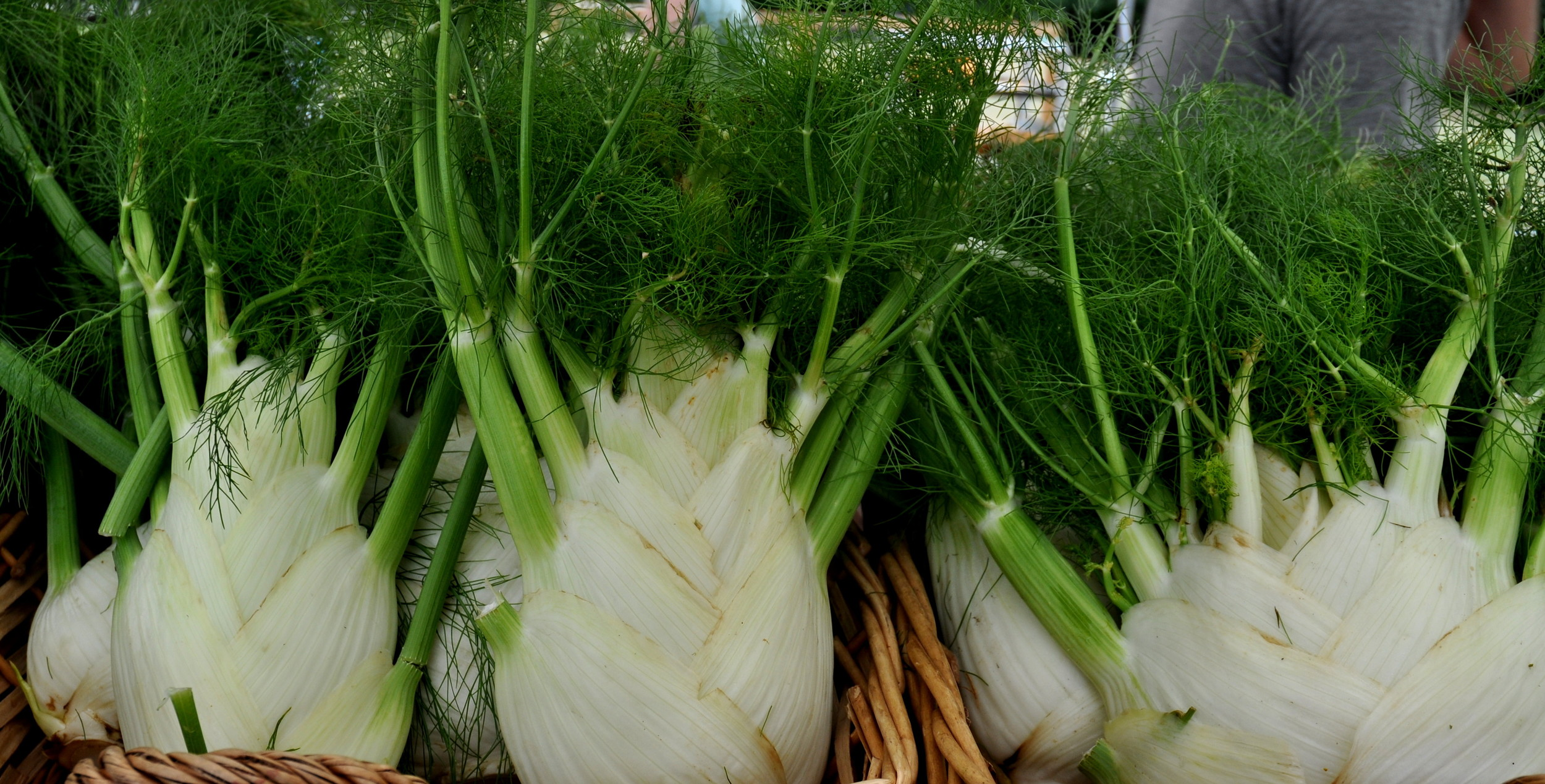 Fennel bulb from Alm Hill Gardens. Photo copyright 2013 by Zachary D. Lyons.