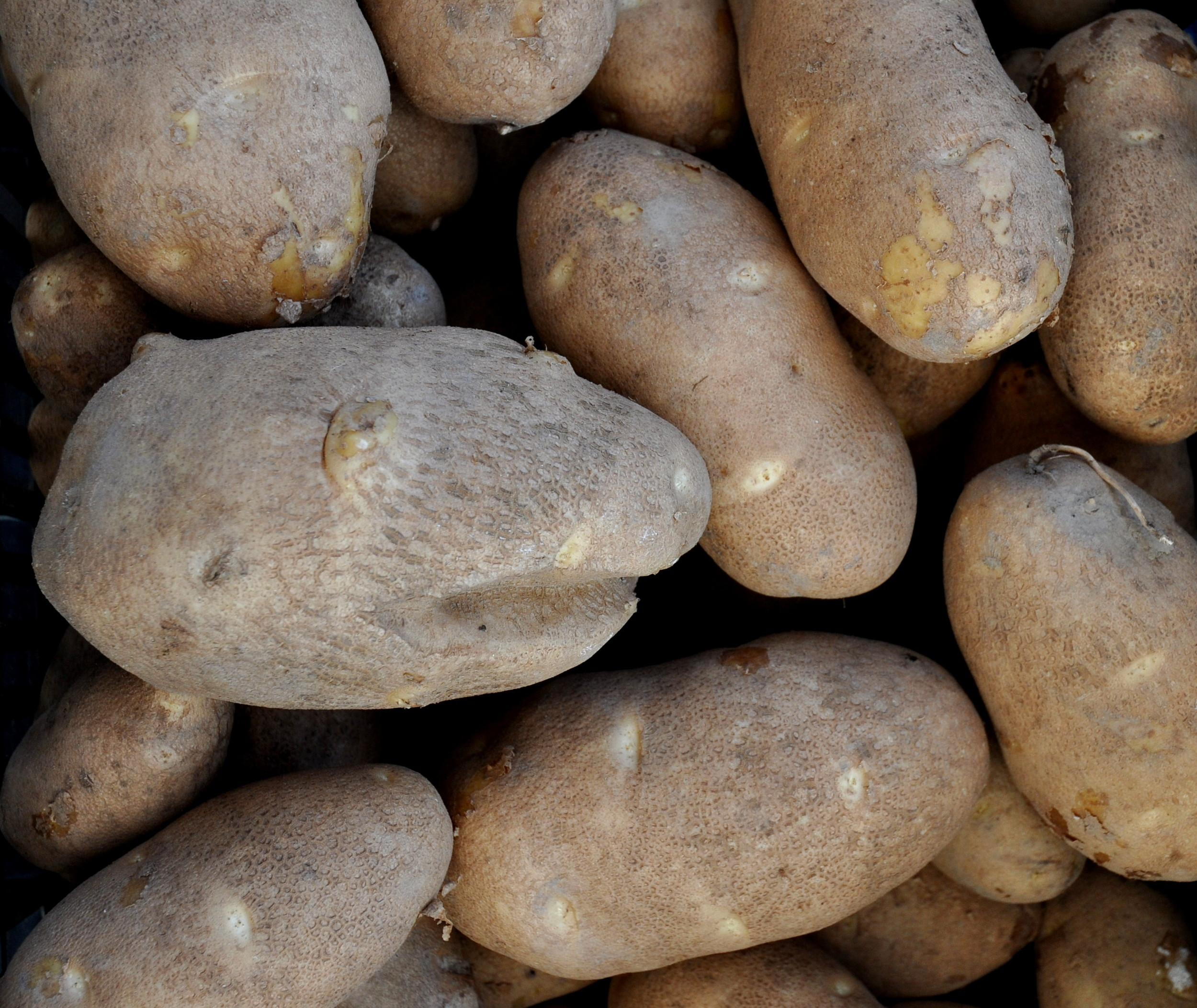 Rio Grande russet potatoes from Olsen Farms. Photo copyright 2013 by Zachary D. Lyons.
