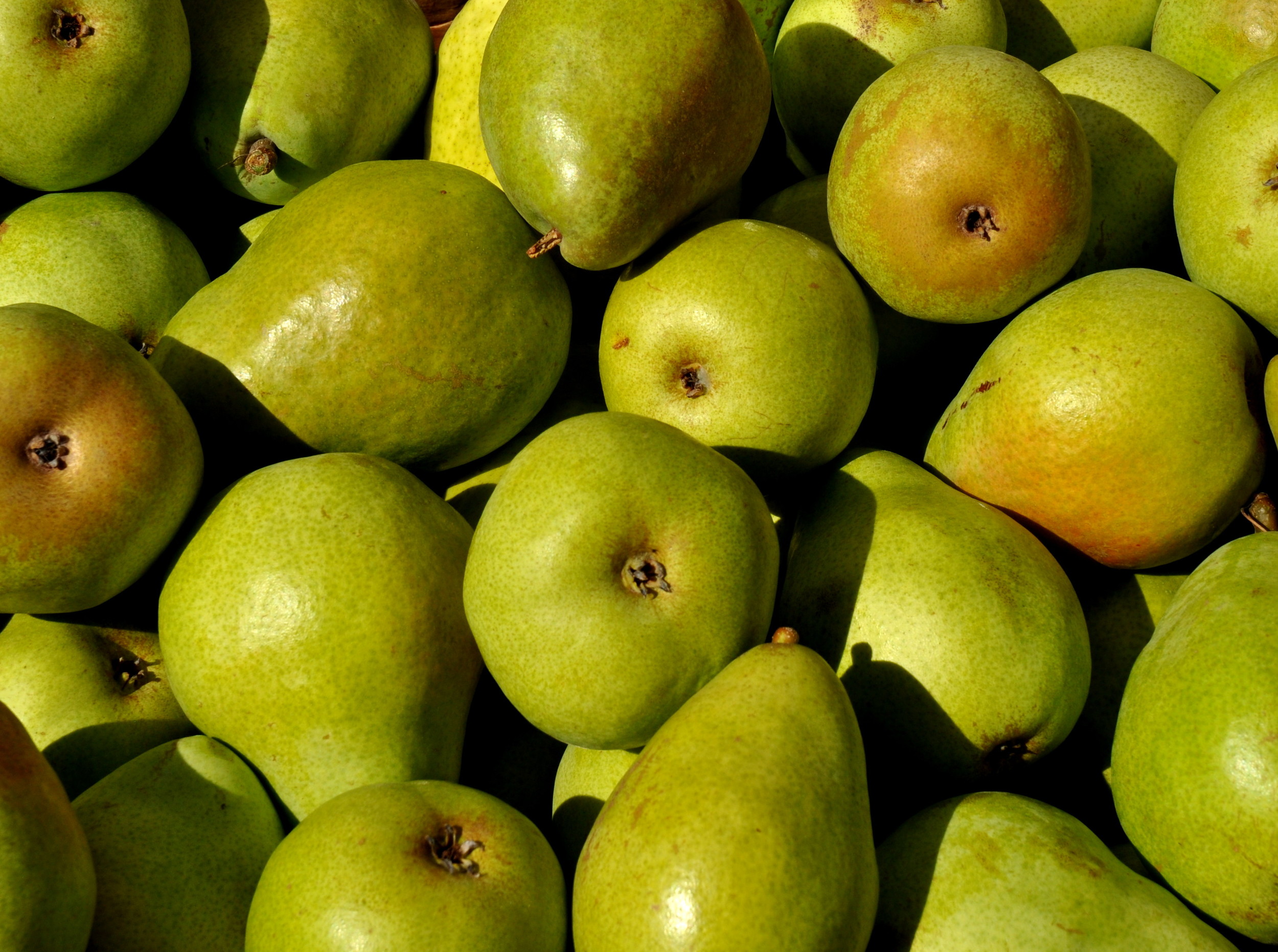 Certified organic D'Anjou pears from ACMA Mission Orchards. Photo copyright 2013 by Zachary D. Lyons.