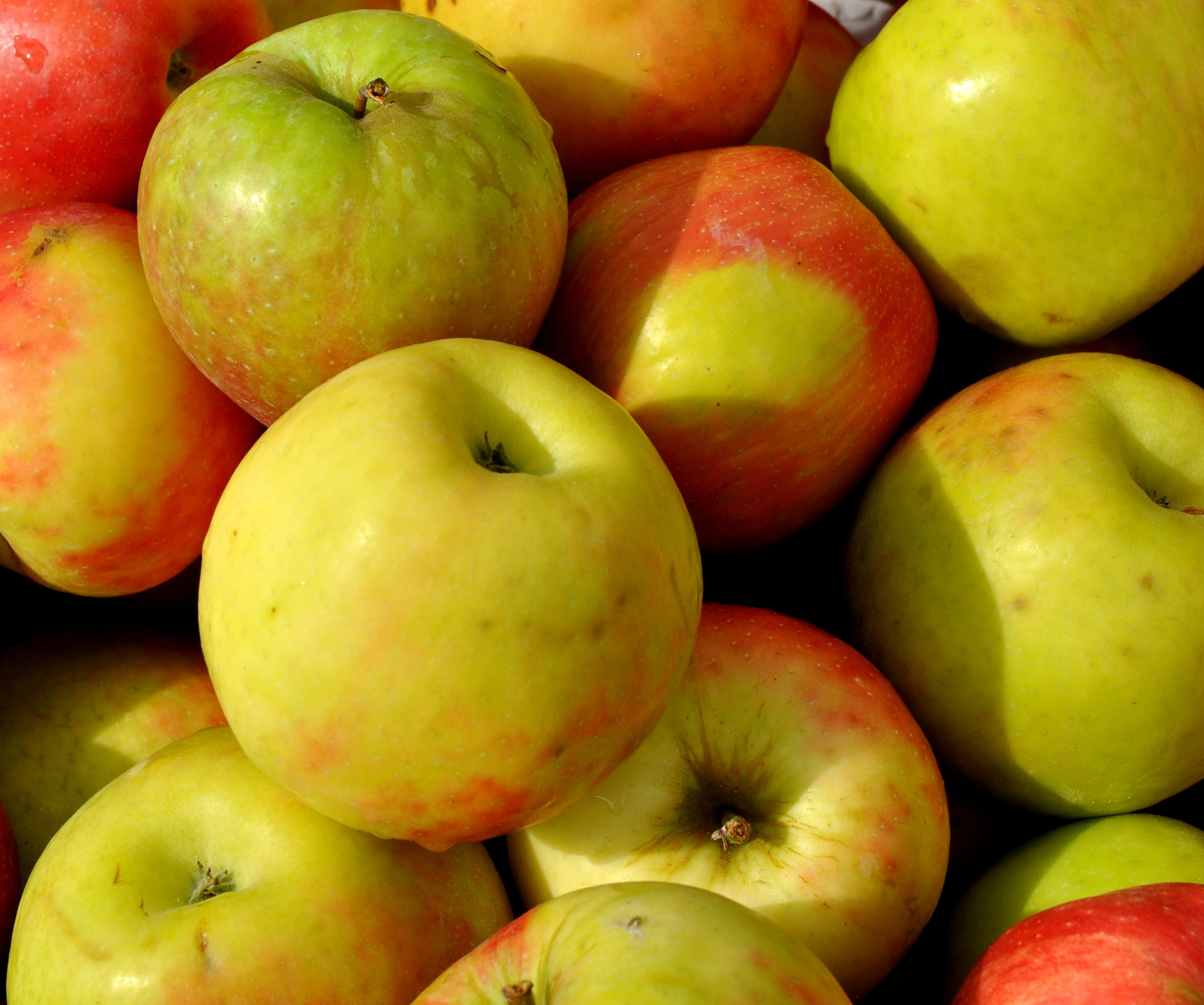 Honey crisp apples from ACMA Mission Orchards. Photo copyright 2013 by Zachary D. Lyons.