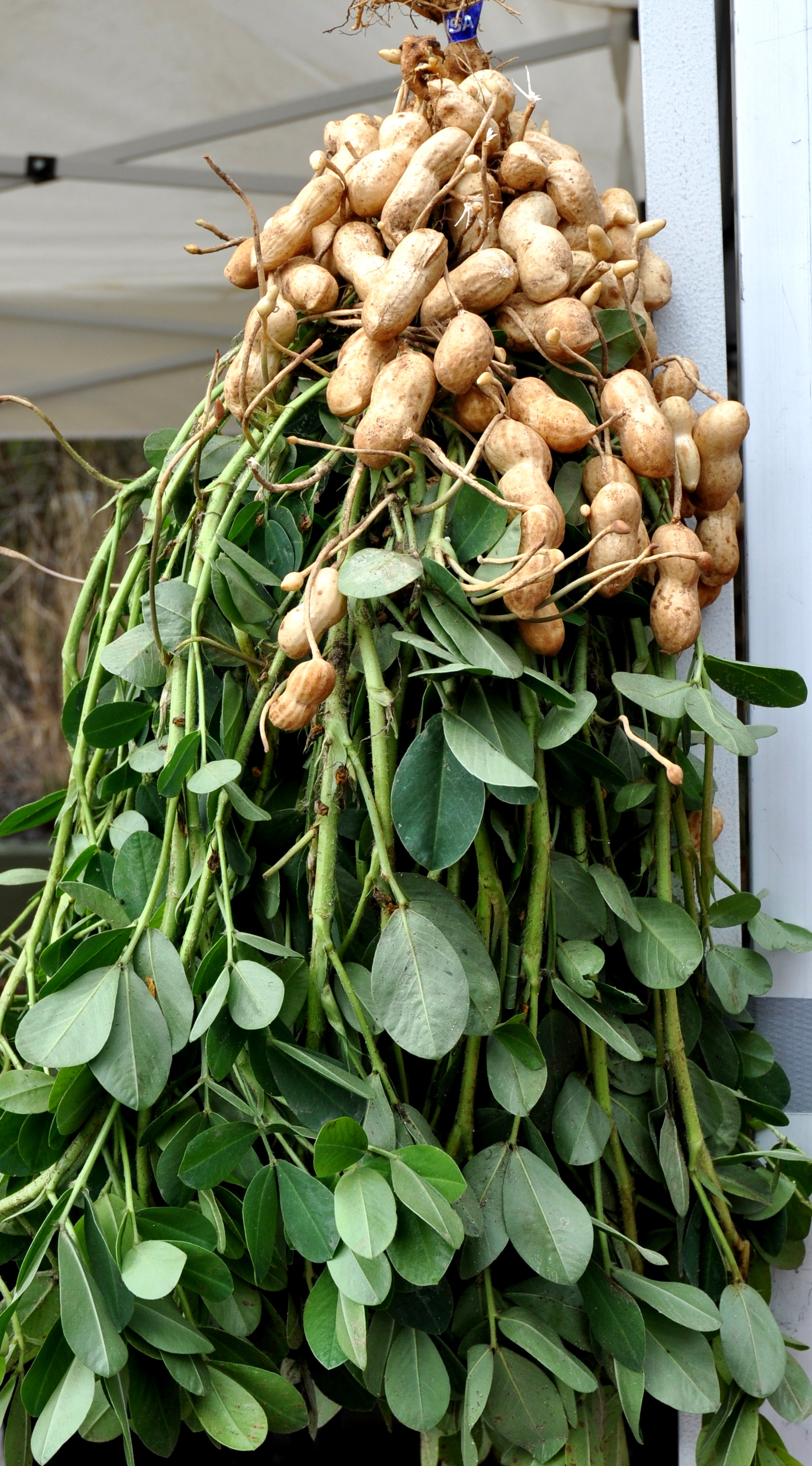 Fresh peanuts from Alvarez Organic Farms. Photo copyright 2013 by Zachary D. Lyons.