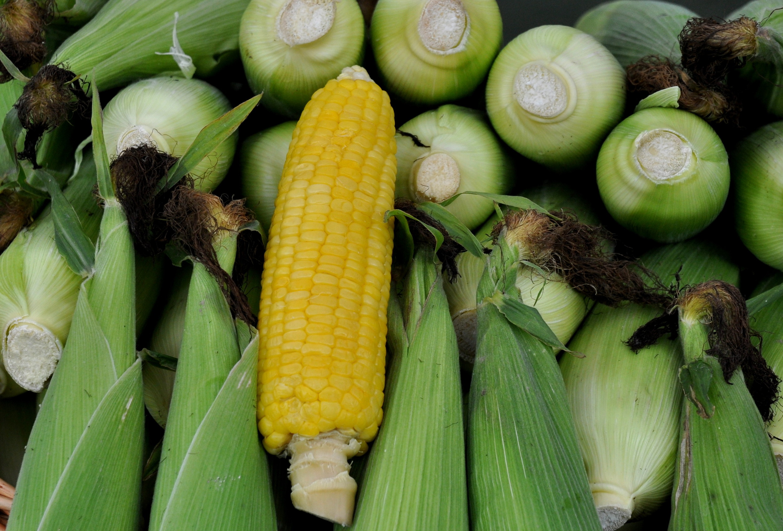 Sweet corn from Gaia's Harmony Farm. Photo copyright 2013 by Zachary D. Lyons.