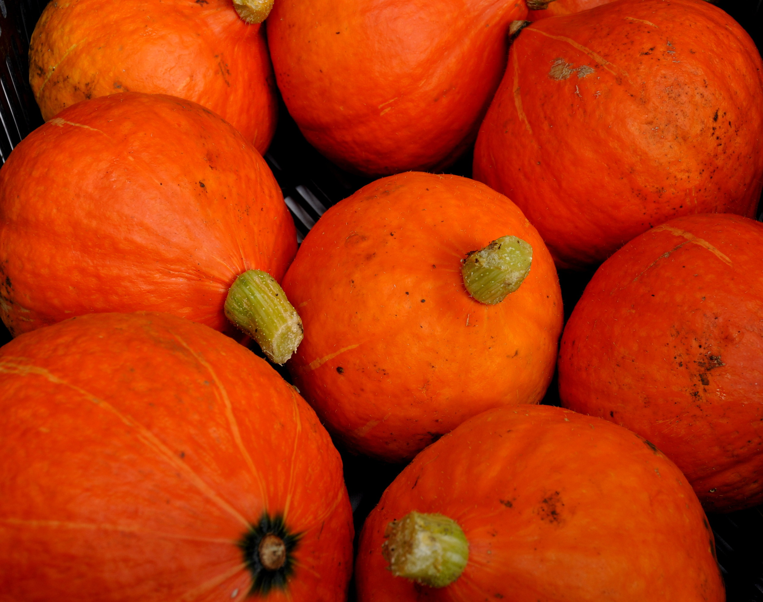 Red kabocha winter squash from Stoney Plains Organic Farm. Photo copyright 2013 by Zachary D. Lyons.