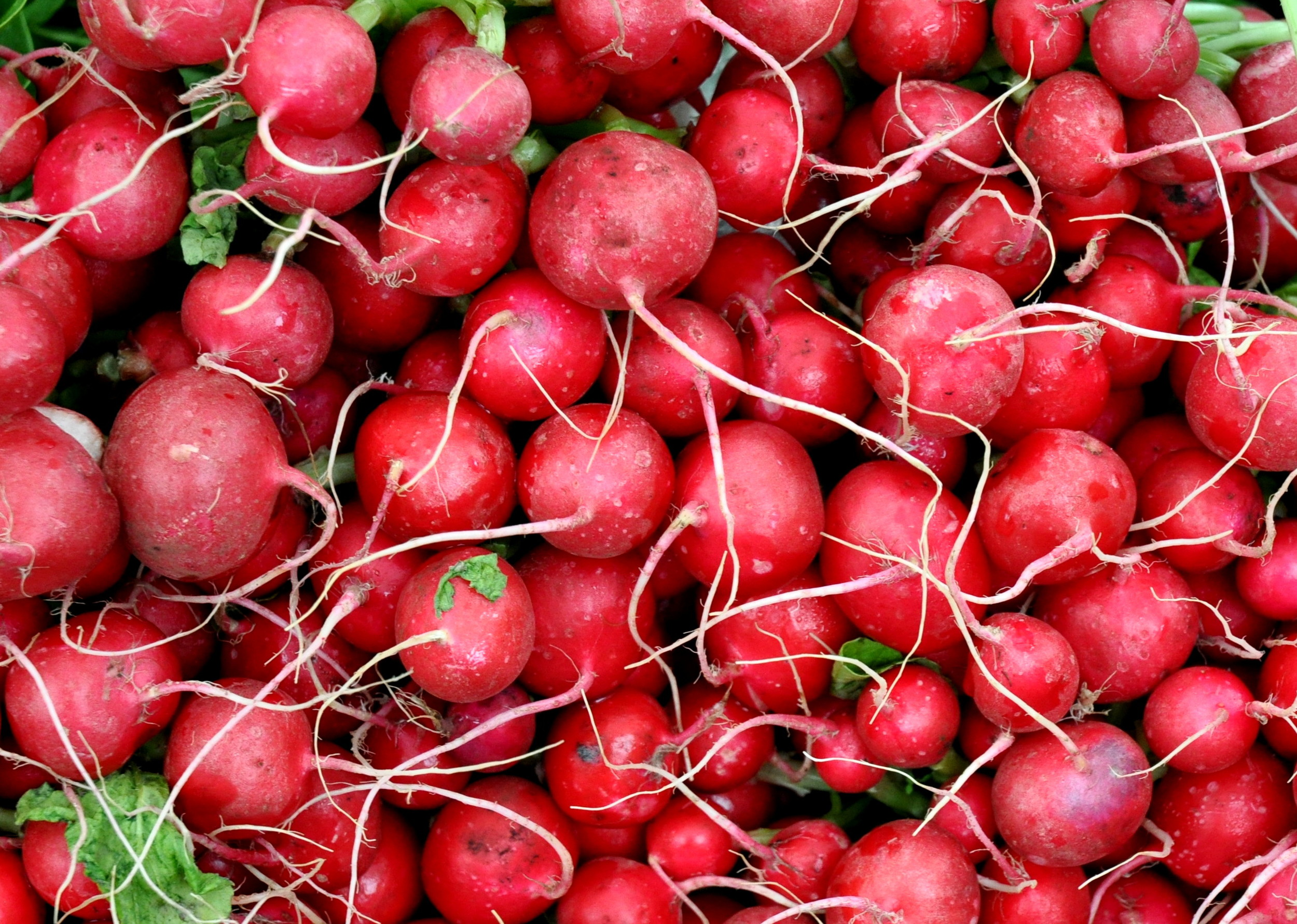 Red radishes from Stoney Plains Organic Farm. Photo copyright 2013 by Zachary D. Lyons.