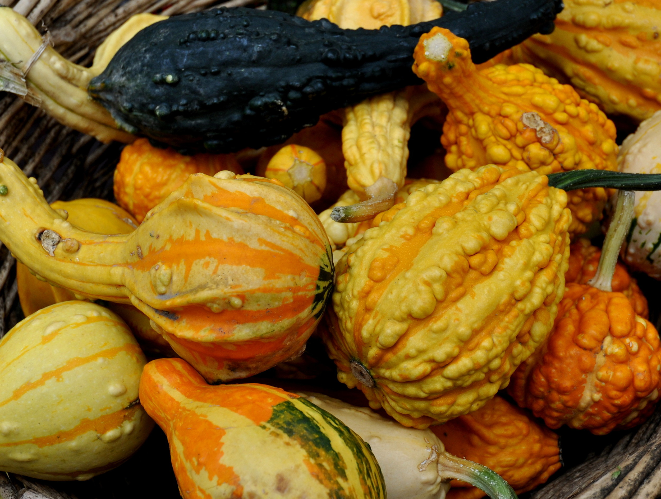 Ornamental gourds from Alm HIll Gardens. Photo copyright 2013 by Zachary D. Lyons.