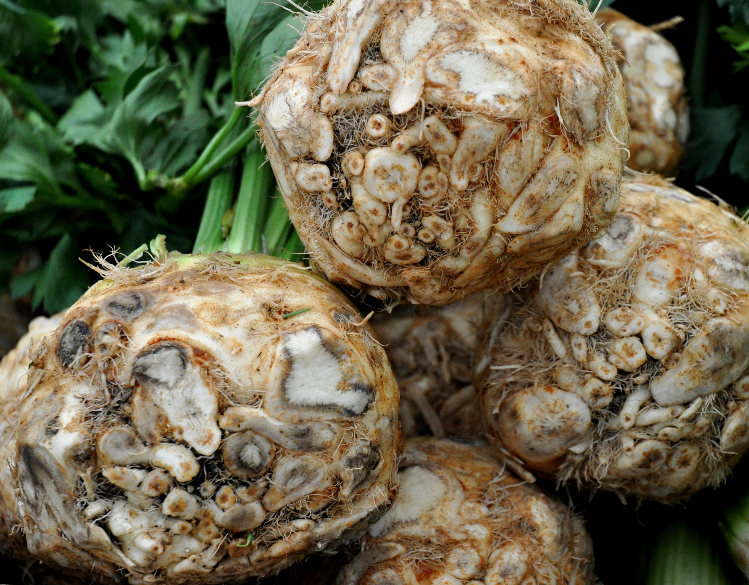 Celery root from Boistfort Valley Farm. Photo copyright 2013 by Zachary D. Lyons.