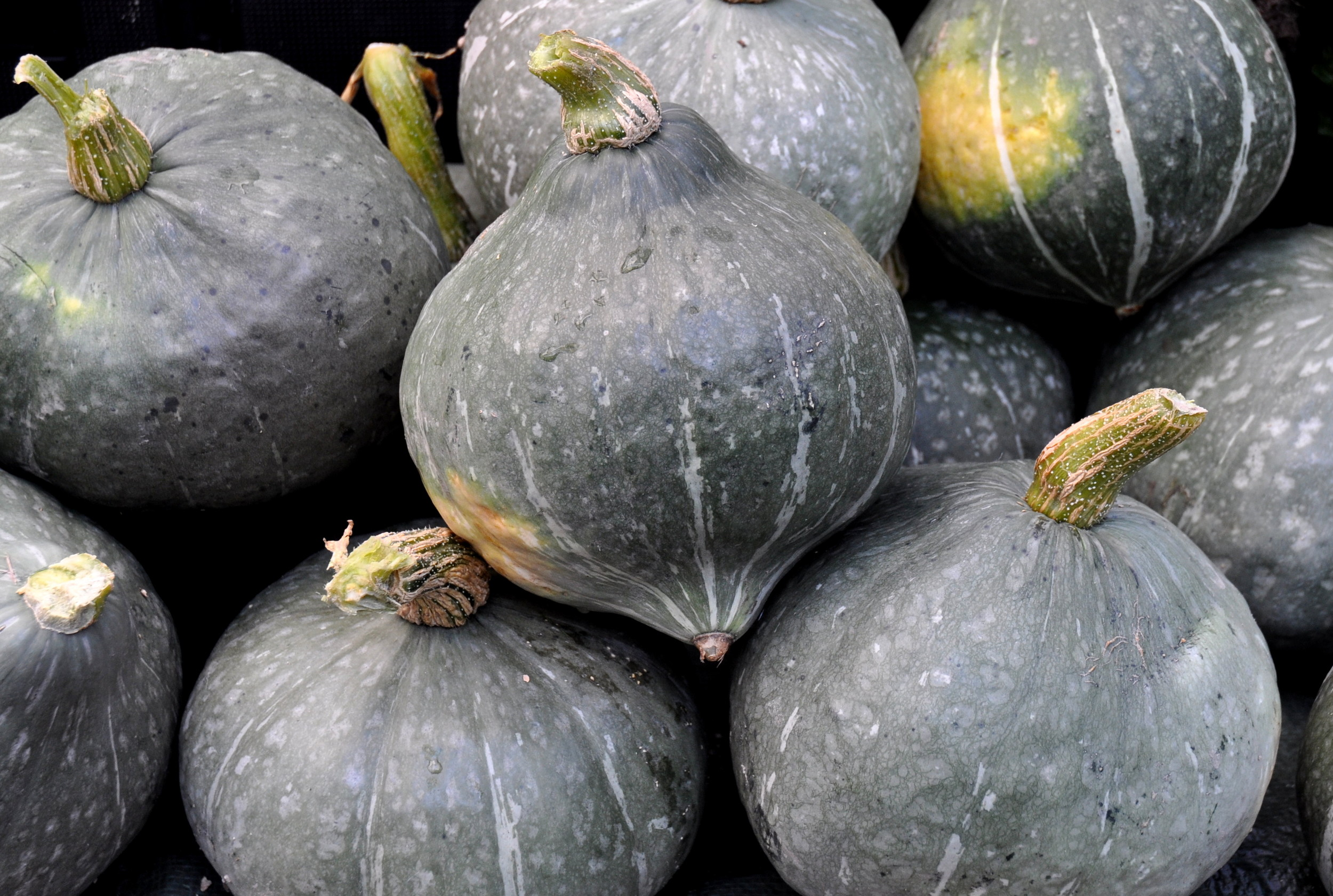 Kabocha winter squash from Gaia's Harmony Farm. Photo copyright 2013 by Zachary D. Lyons.