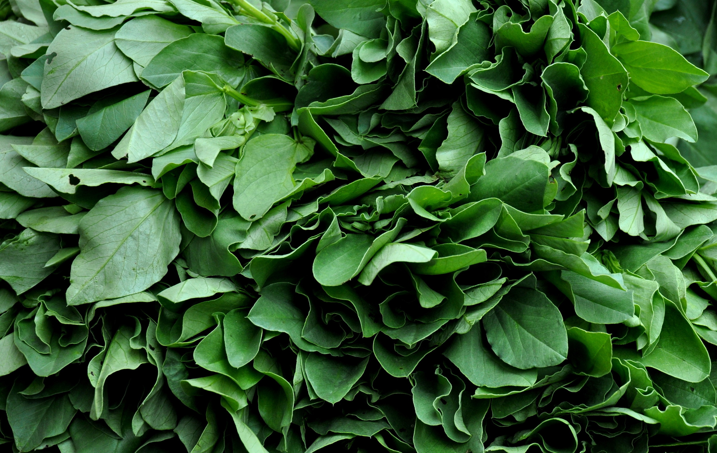 Fava bean leaves from Stoney Plains Organic Farm. Photo copyright 2013 by Zachary D. Lyons.