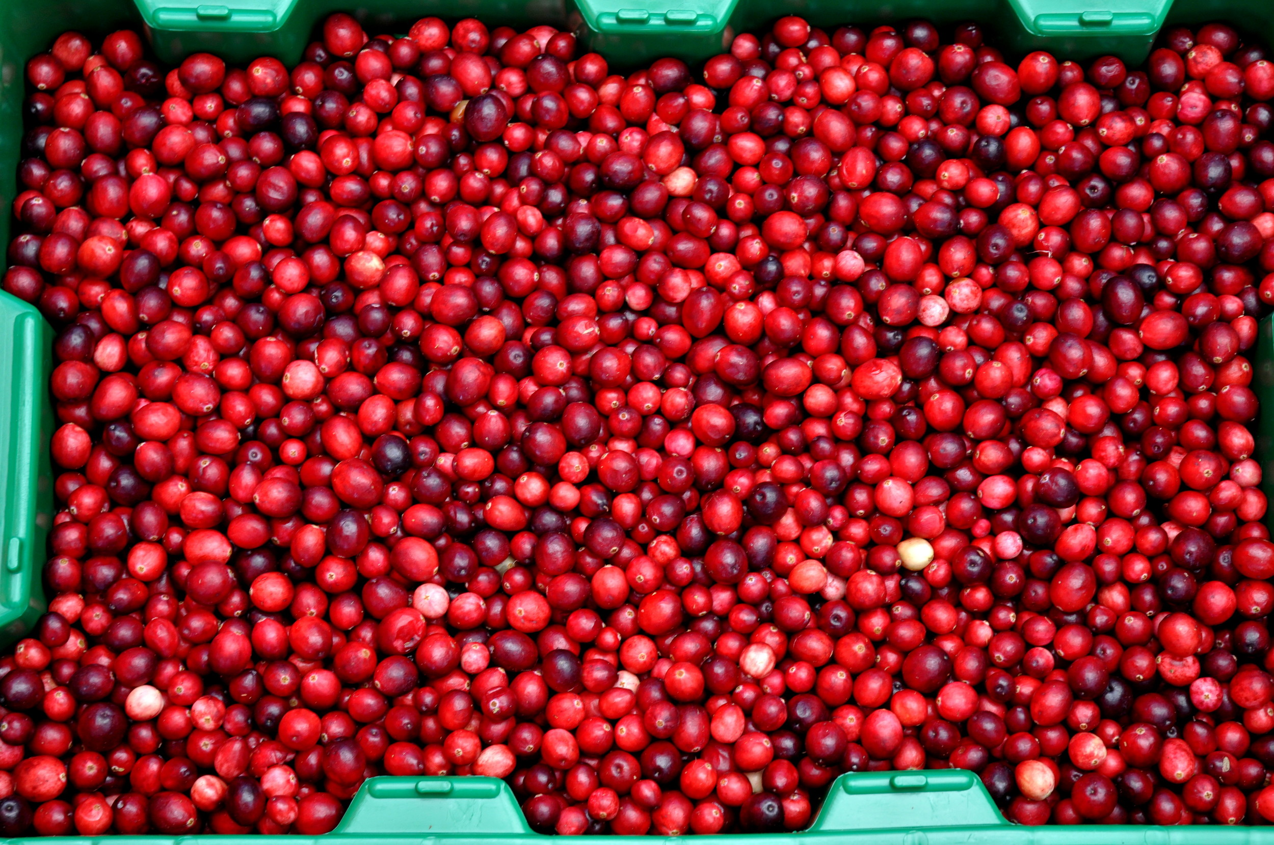 Fresh cranberries from Bloom Creek Cranberry Farm. Photo copyright 2013 by Zachary D. Lyons.