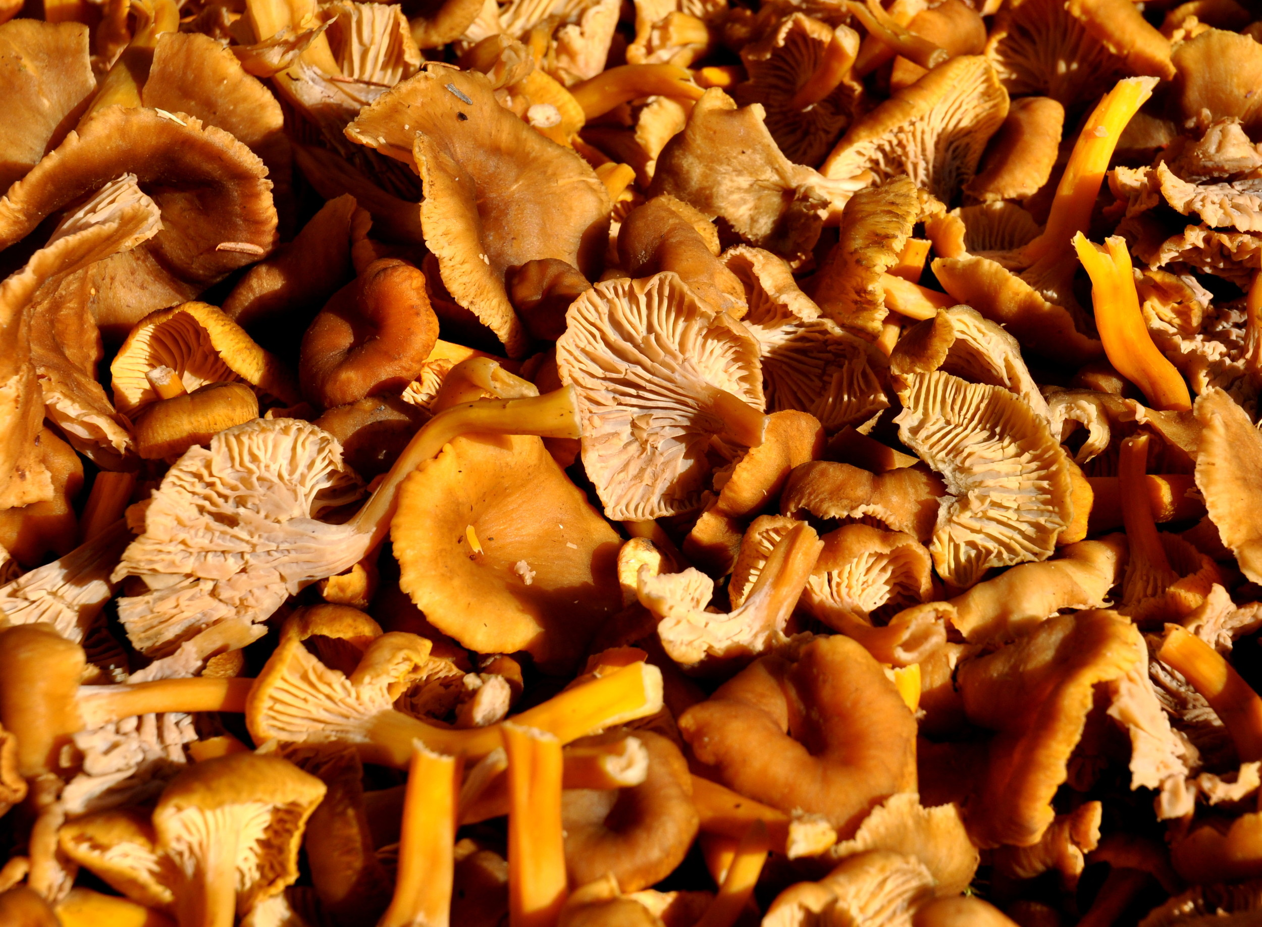 Yellowfoot chanterelle mushrooms from Foraged & Found Edibles. Copyright 2013 by Zachary D. Lyons.
