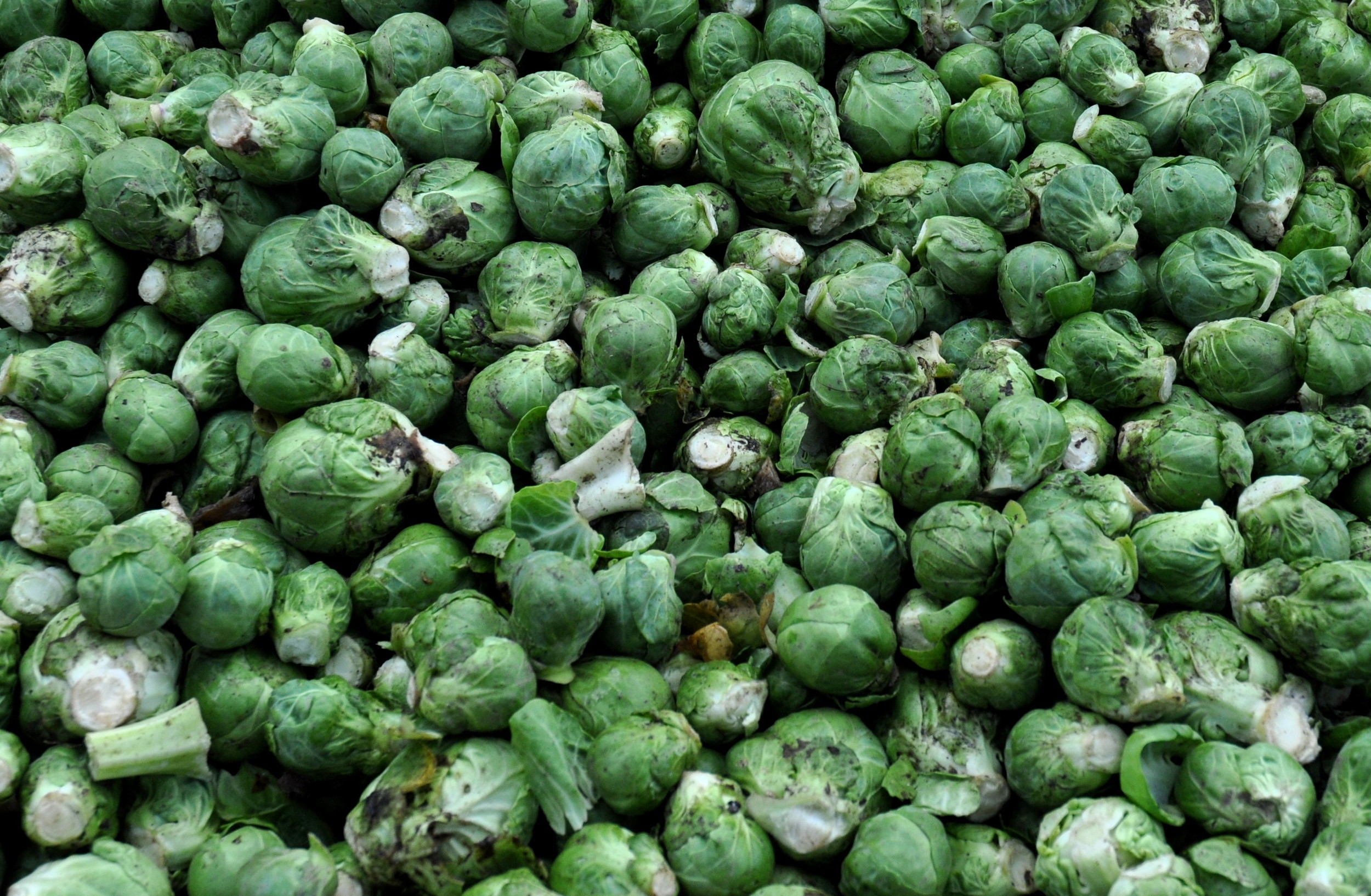 Brussels sprouts from Nash's Organic Produce. Photo copyright 2013 by Zachary D. Lyons.