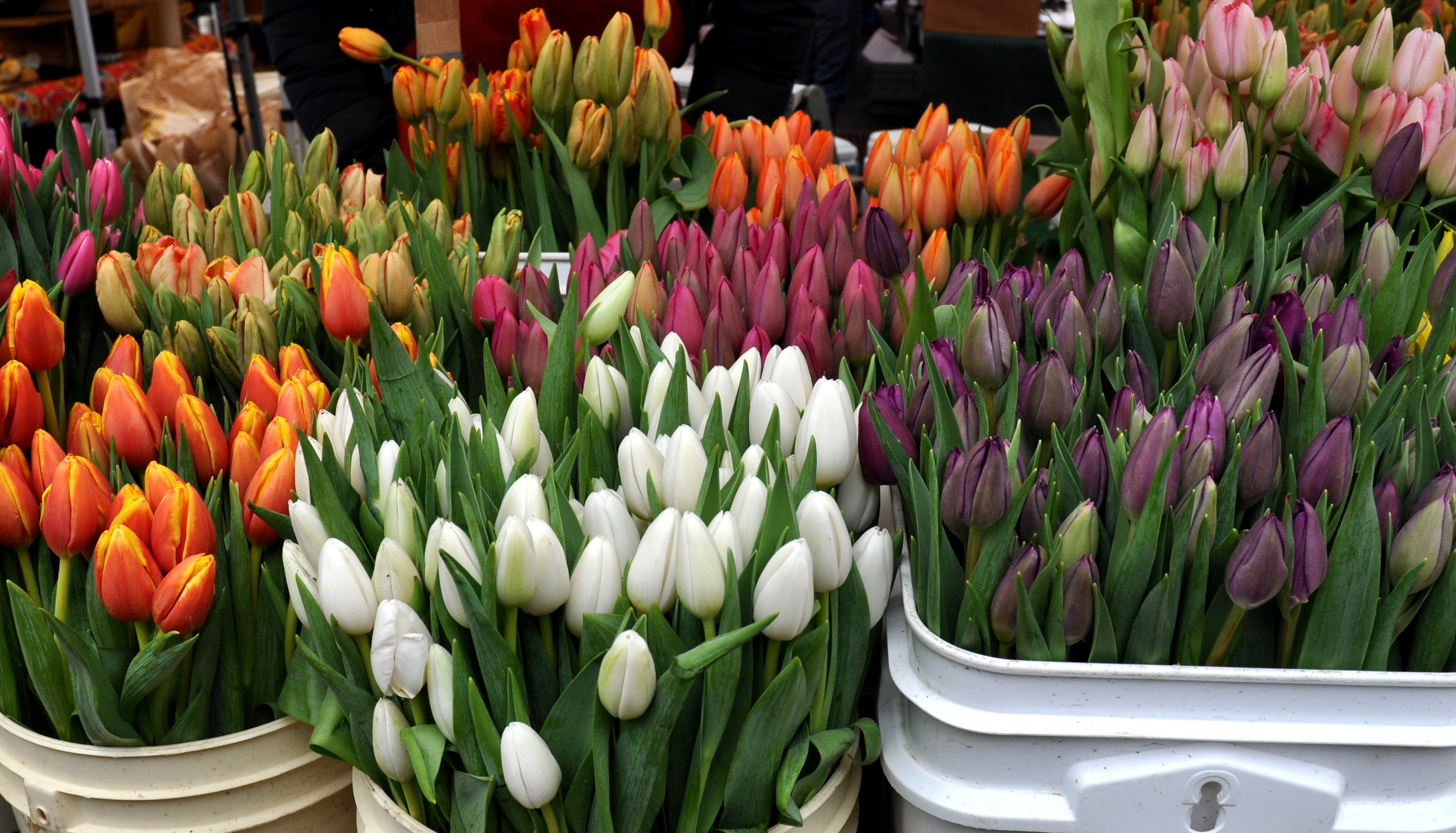 First-of-the-year fresh tulips from Alm HIll Gardens at Ballard Farmers Market. Copyright Zachary D. Lyons.