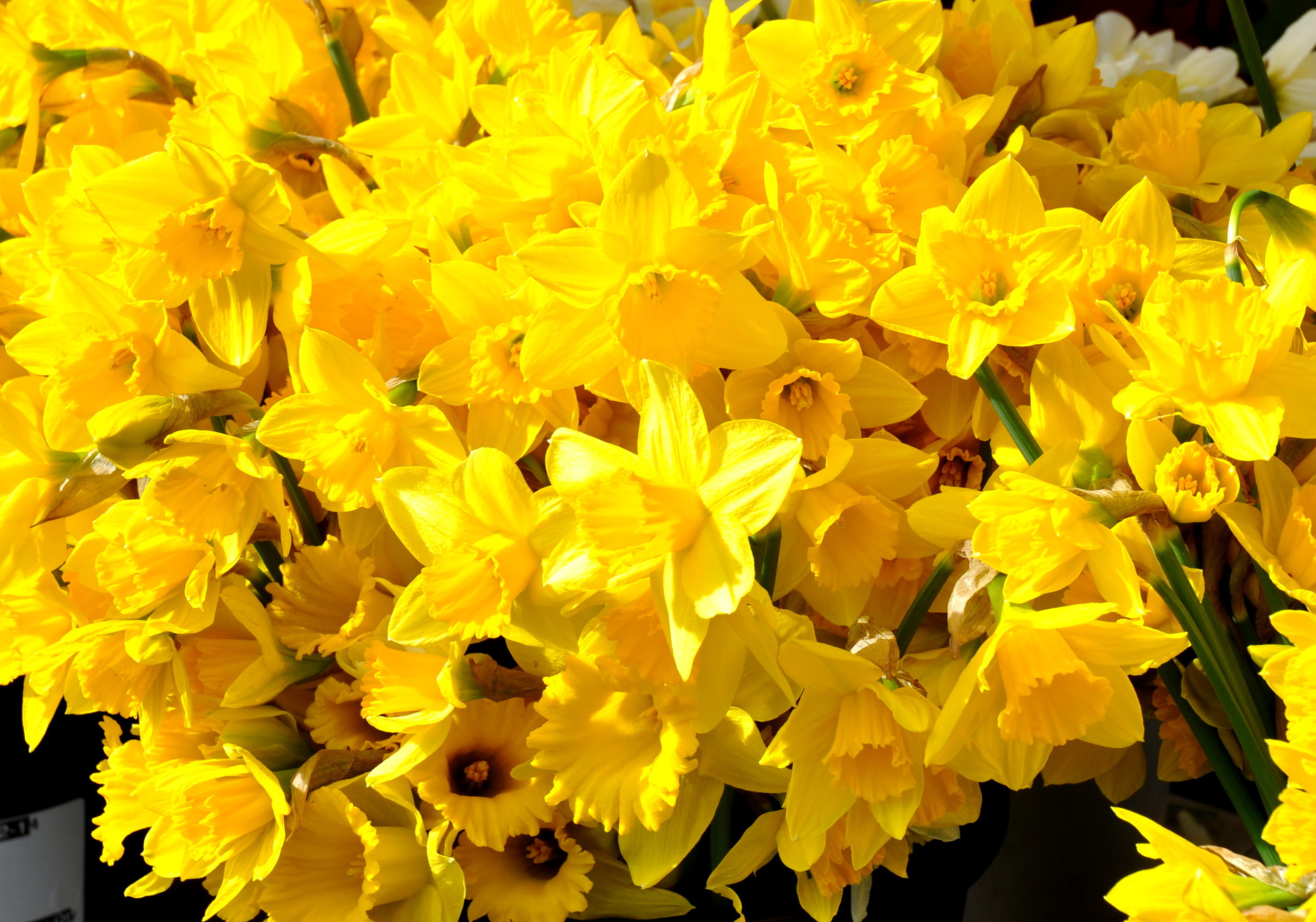 Daffodils from Children's Garden. Photo copyright 2014 by Zachary D. Lyons.