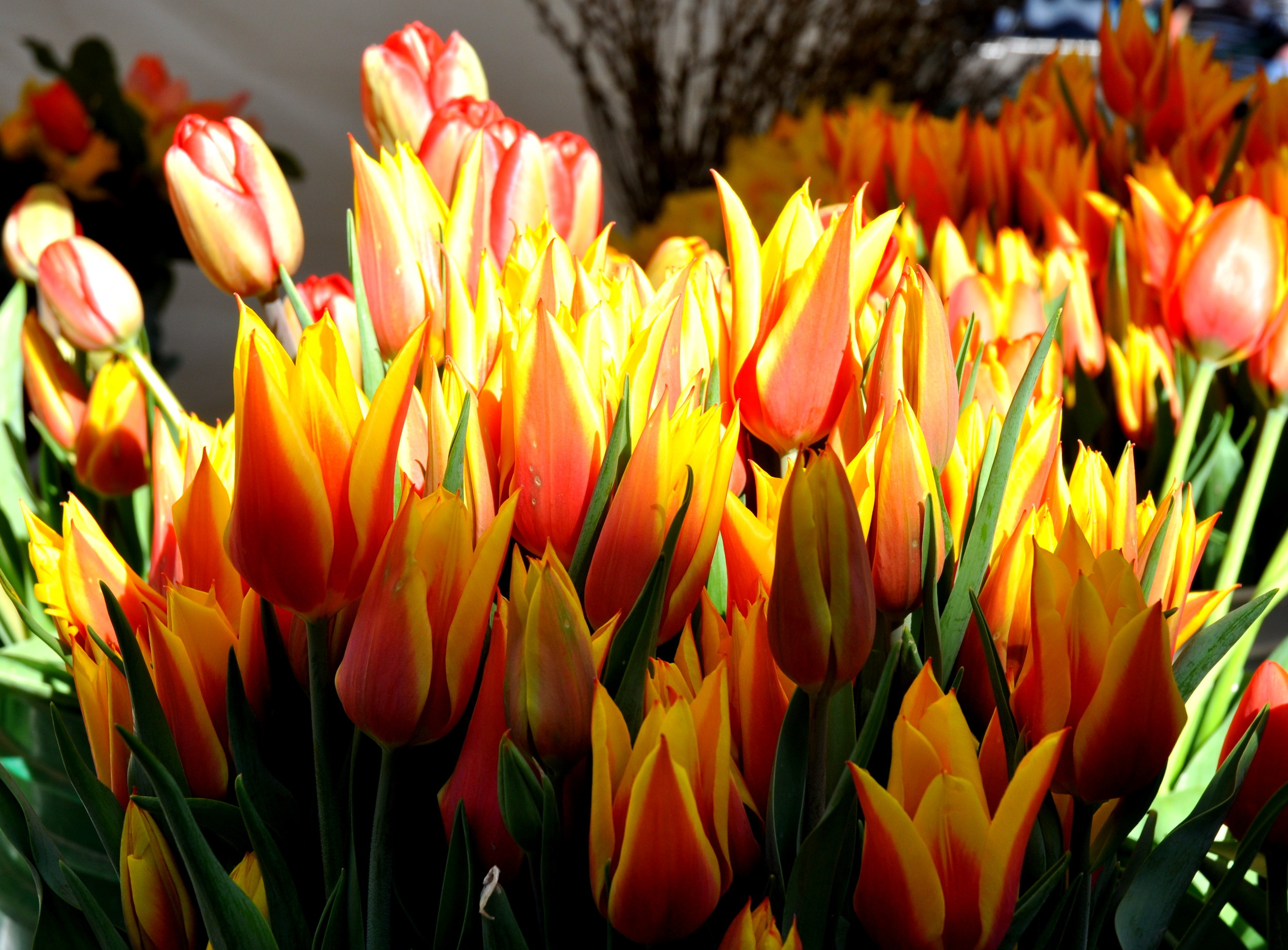 Spectacular tulips from Ia's Garden. Photo copyright 2014 by Zachary D. Lyons.