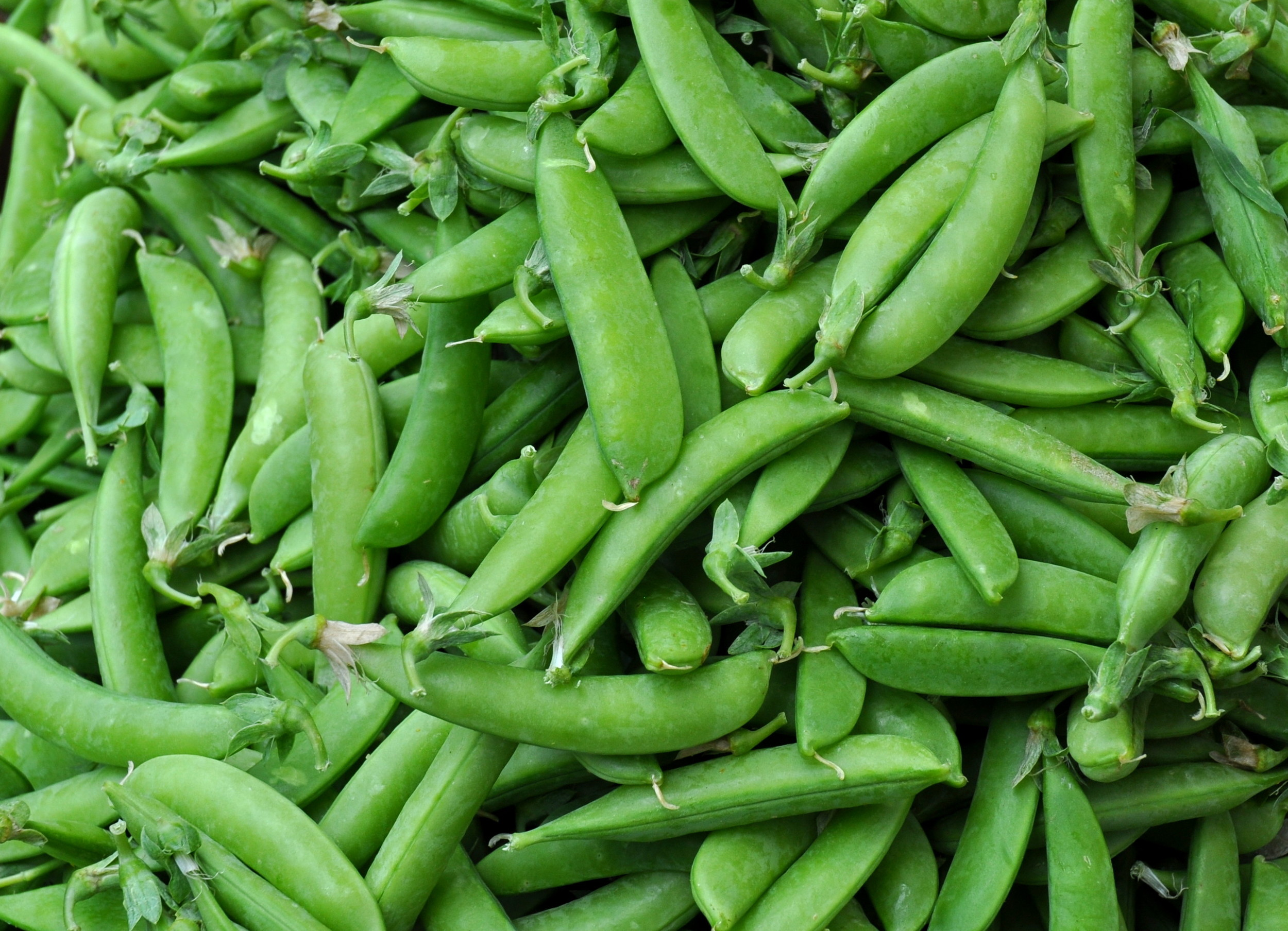 Sugar snap peas from Alvarez Organic Farms. Photo copyright 2014 by Zachary D. Lyons.