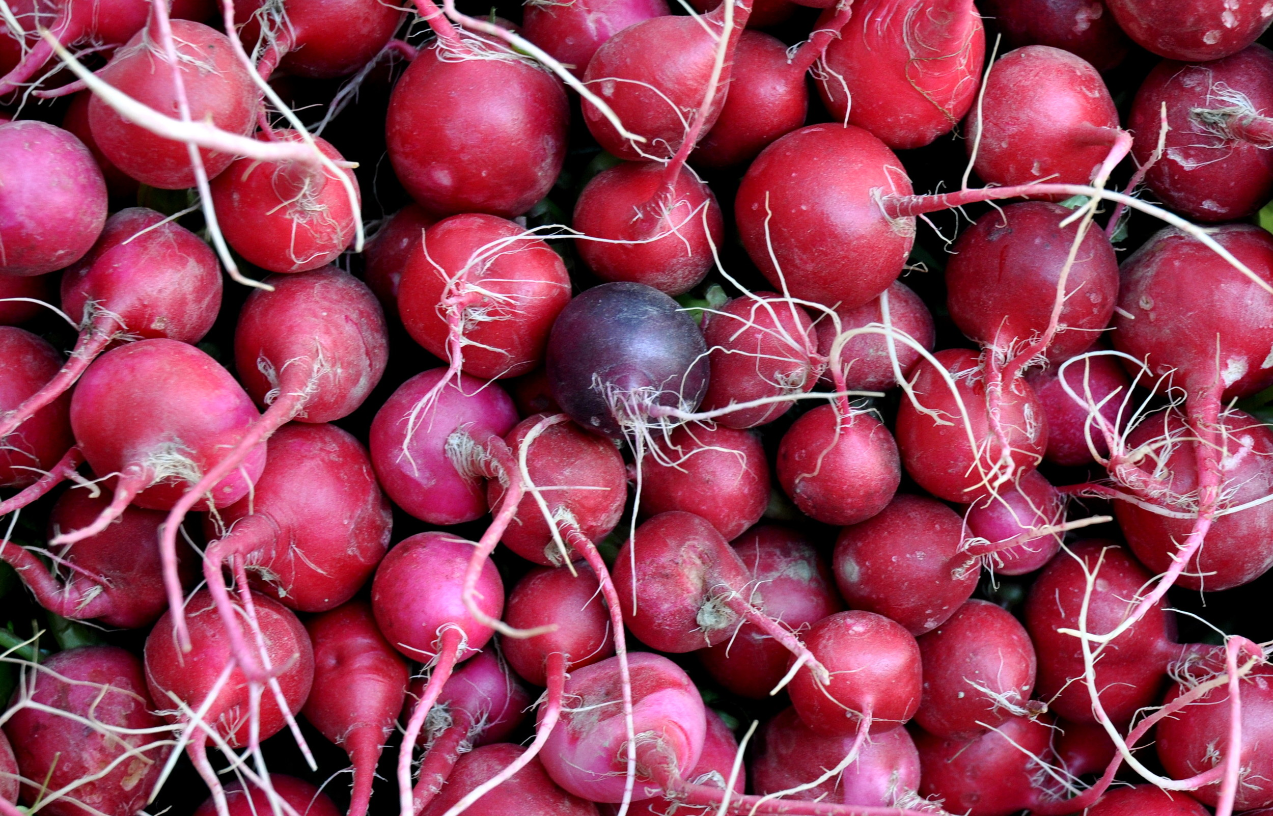 Red radishes from Oxbow Farm. Photo copyright 2014 by Zachary D. Lyons.