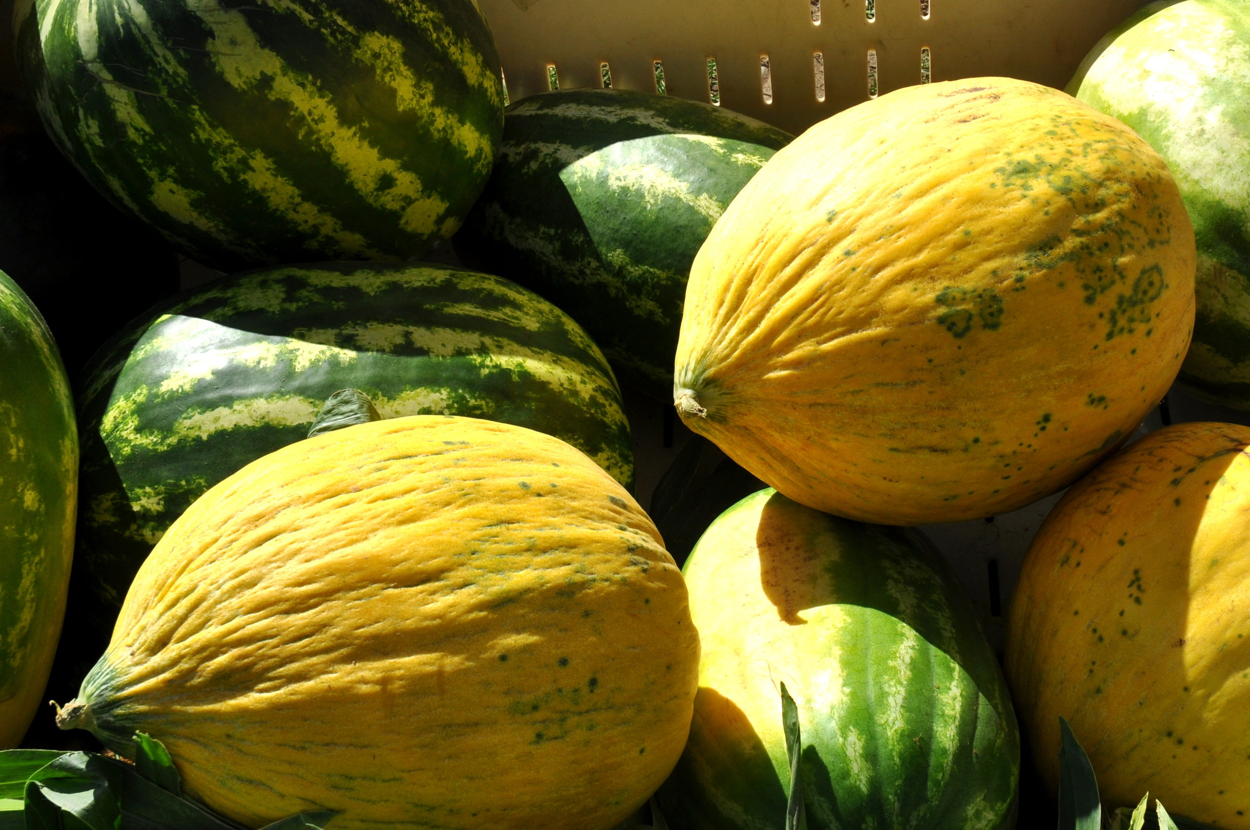 Ginormous melons from Lyall Farms at Ballard Farmers Market. Copyright Zachary D. Lyons.
