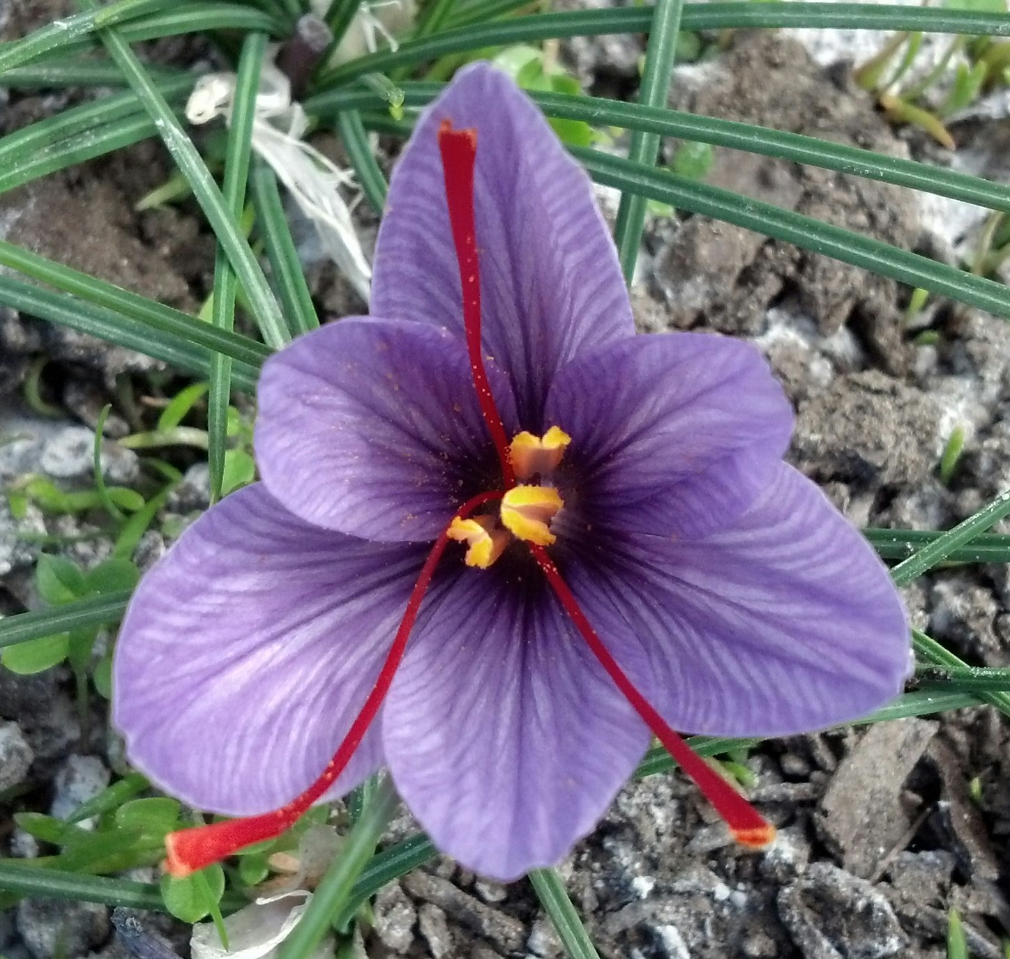 A saffron crocus in full bloom at Phocas Farms. Photo courtesy Phocas Farms.
