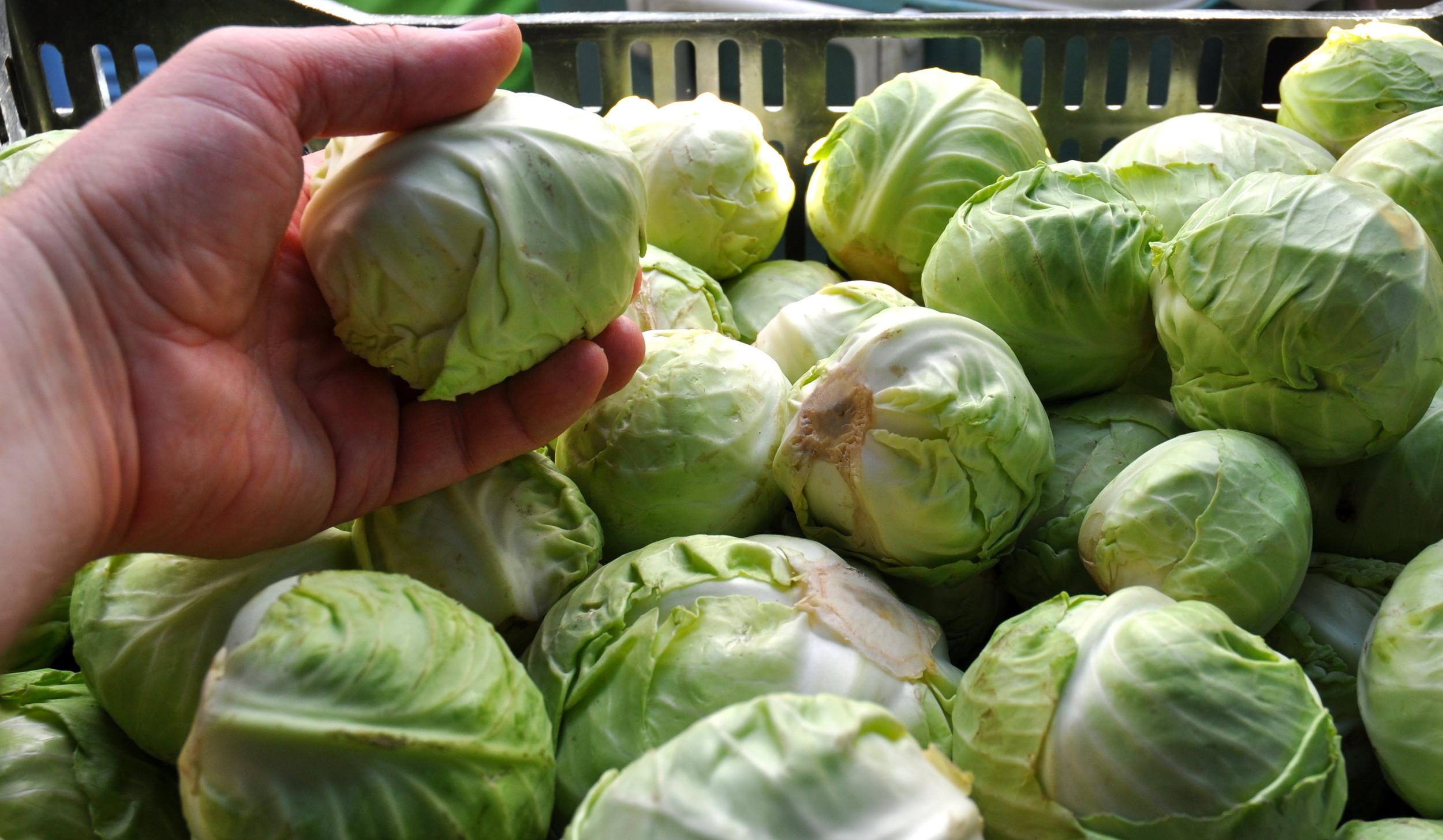 Baby cabbages from Stoney Plains Organic Farm. Photo copyright 2014 by Zachary D. Lyons.