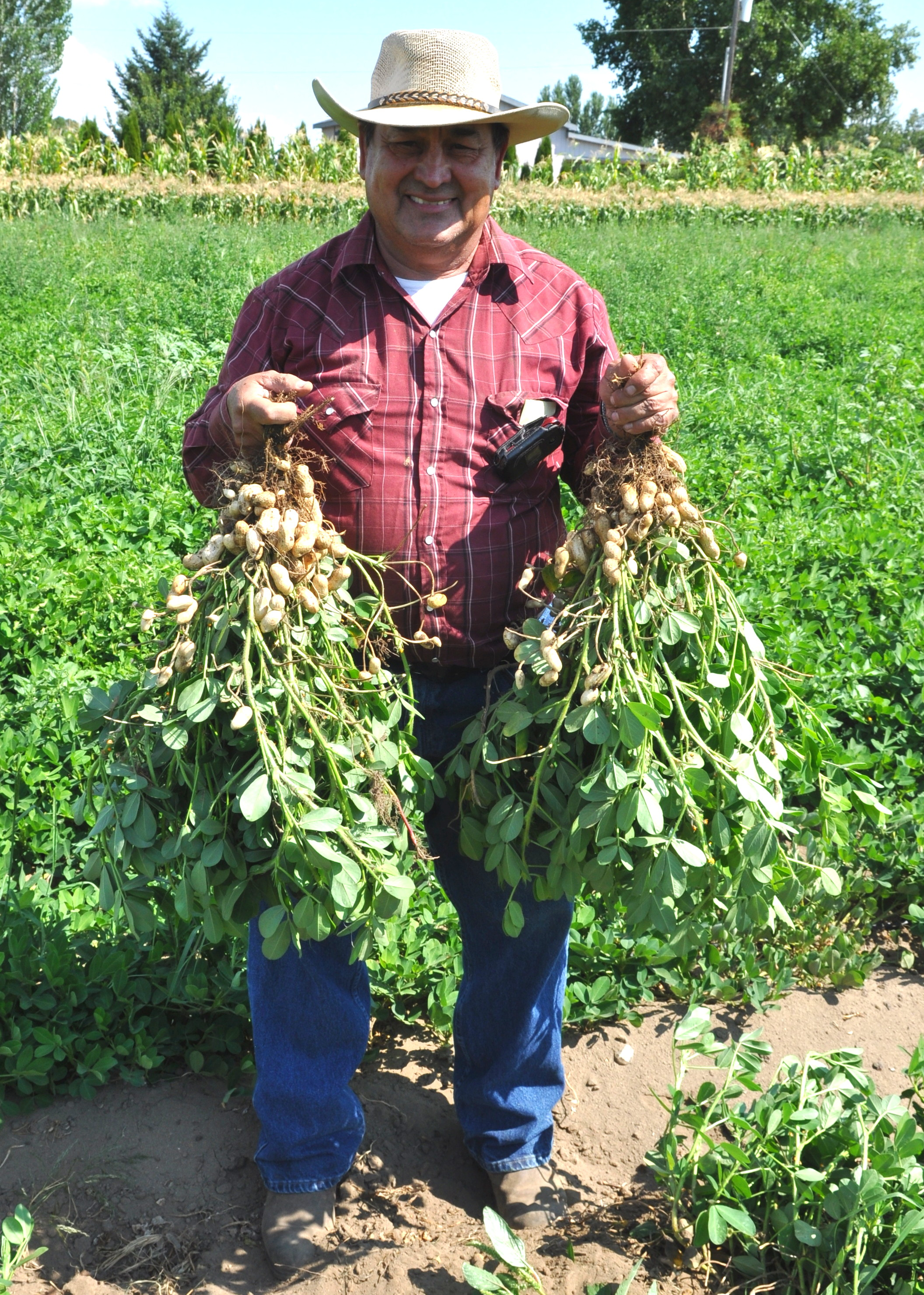 Hilario Alvarez of Alvarez Organic Farms harvesting fresh peanuts on his Mabton farm. Copyright Zachary D. Lyons.