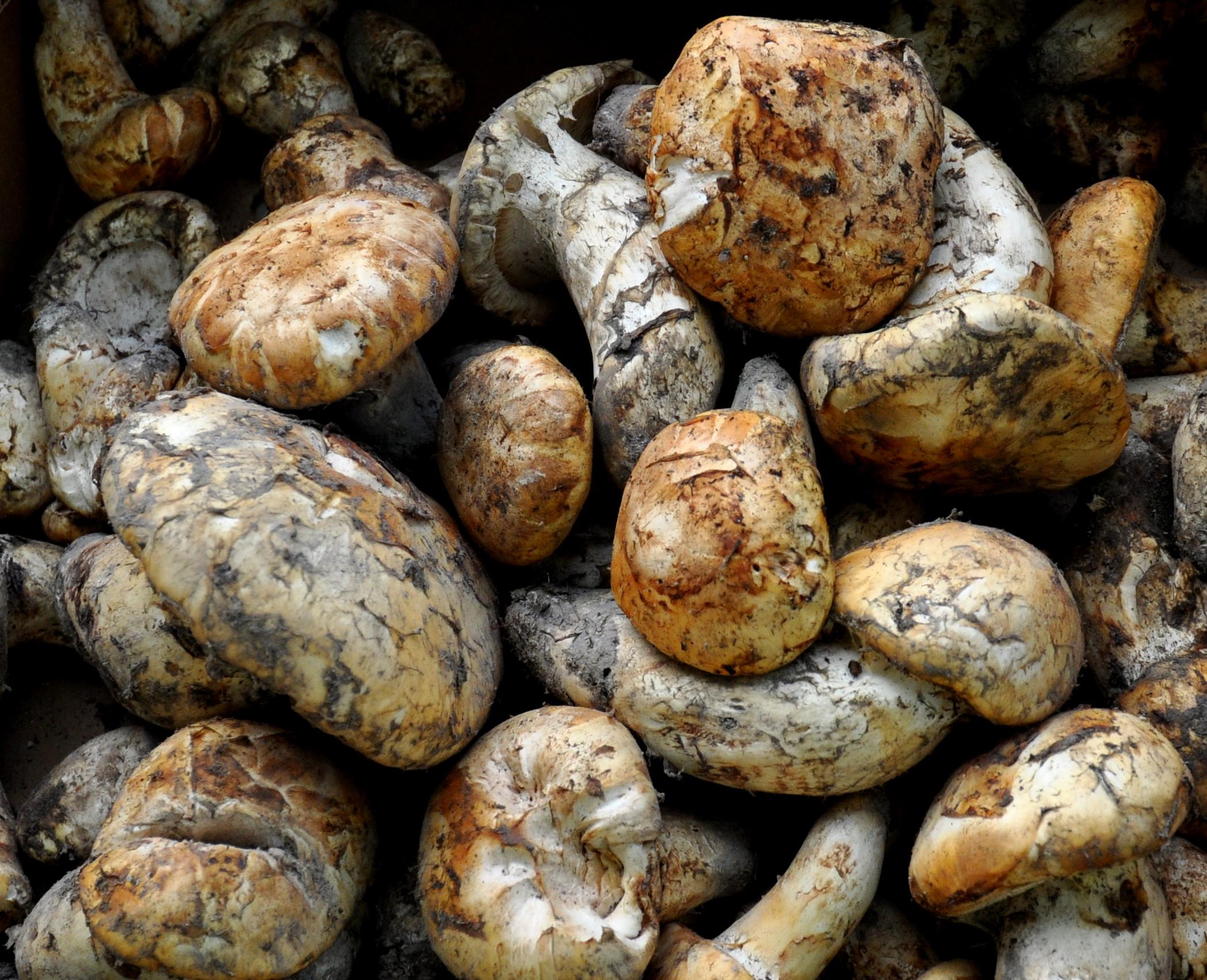 Wild matsutake mushrooms from Foraged & Food Edibles at Ballard Farmers Market. Copyright Zachary D. Lyons.