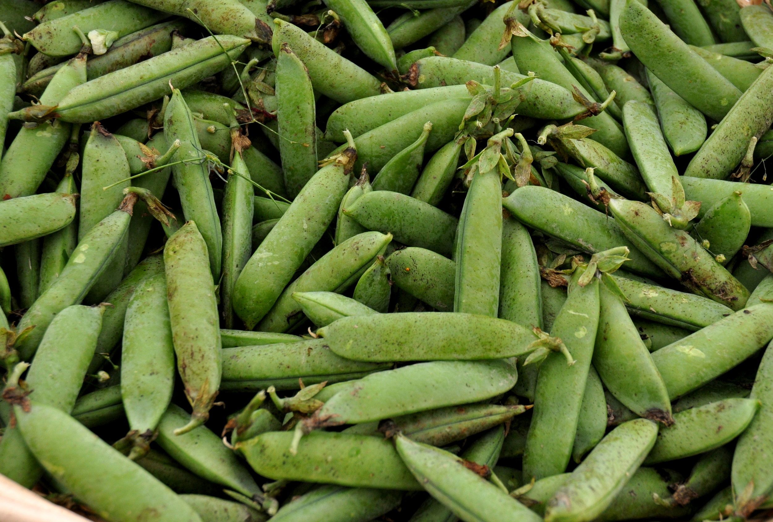 English shelling peas from Growing Things Farm at your Ballard Farmers Market. Copyright Zachary D. Lyons.
