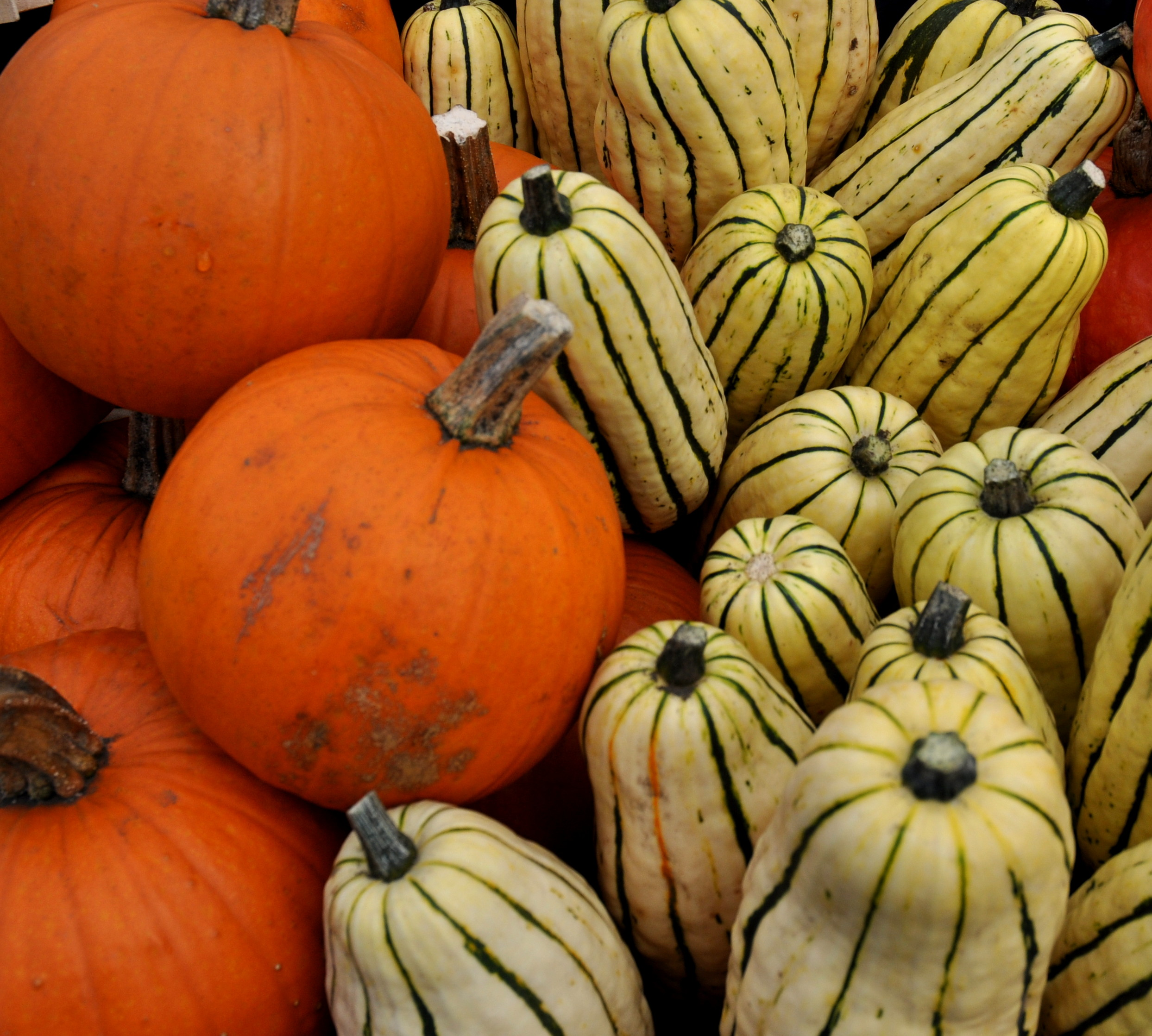 Sugar Pie pumpkins and delicata squash from Kirsop Farm at Ballard Farmers Market. Copyright Zachary D. Lyons.