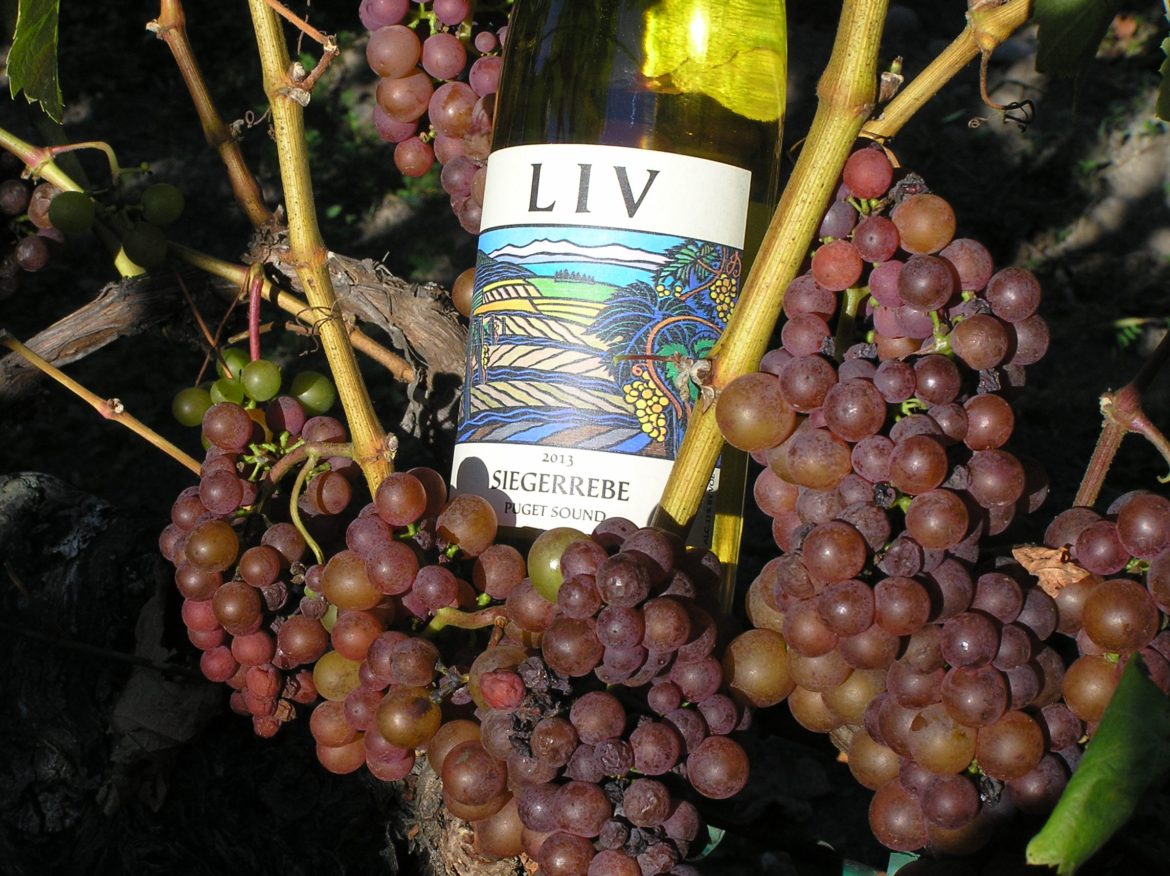 Siegerrebe wine nestled in siegerrebe grapes at LIV (Lopez Island Vineyards). Photo courtesy LIV.