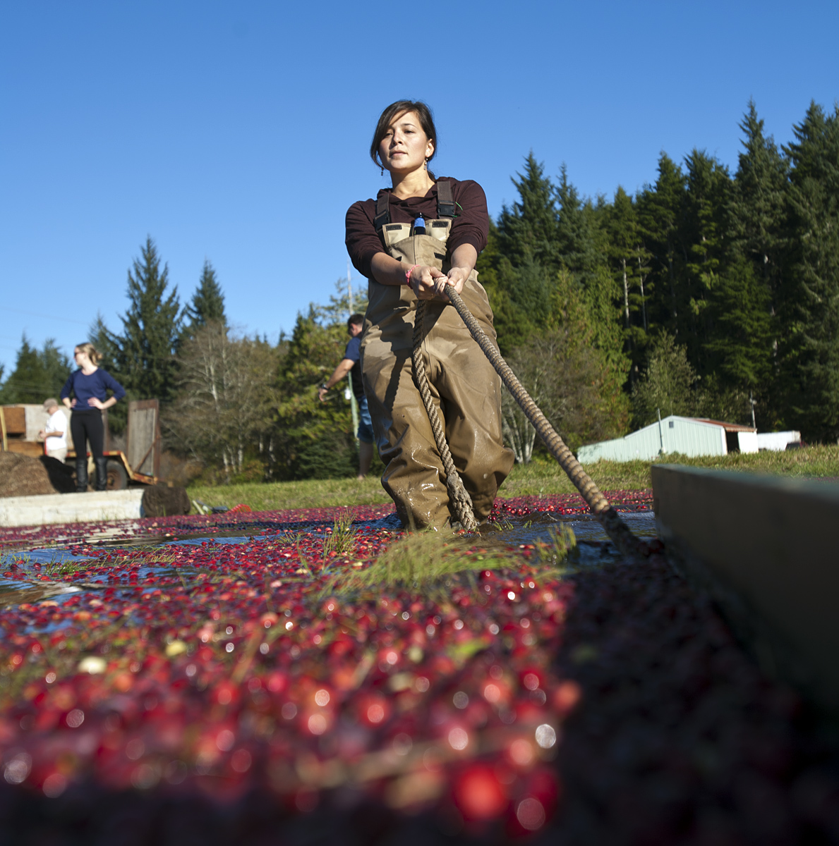 Jessika Tantisook rounding up freshly harvested cranberries at Starvation Alley Farms. Copyright Giles Clement.