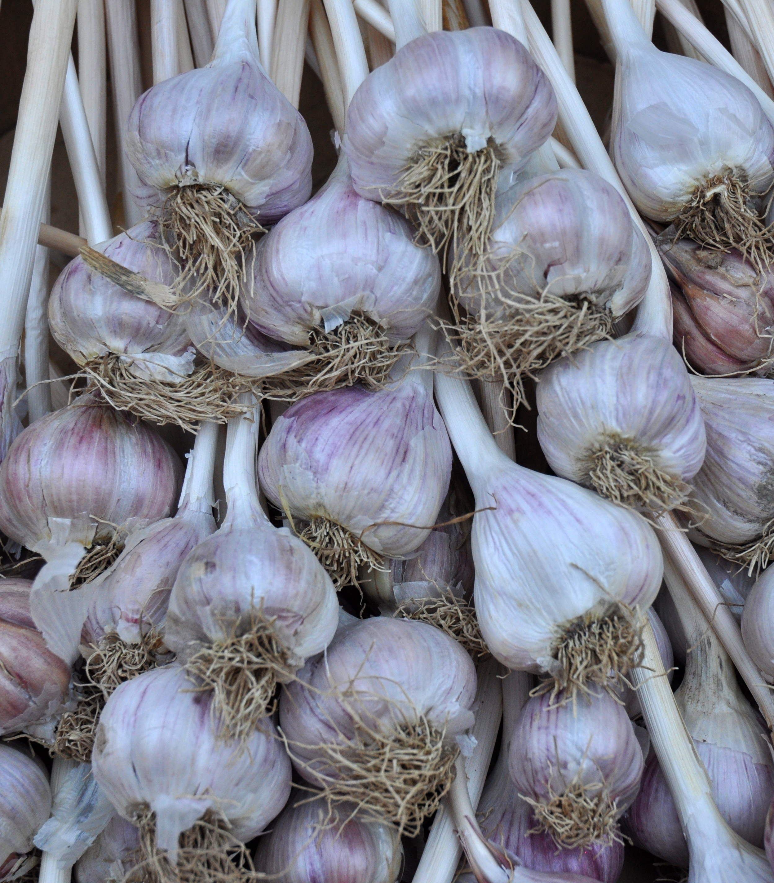 Chesnock red garlic from Jarvis Family Garlic Farm at Ballard Farmers Market. Copyright Zachary D. Lyons.
