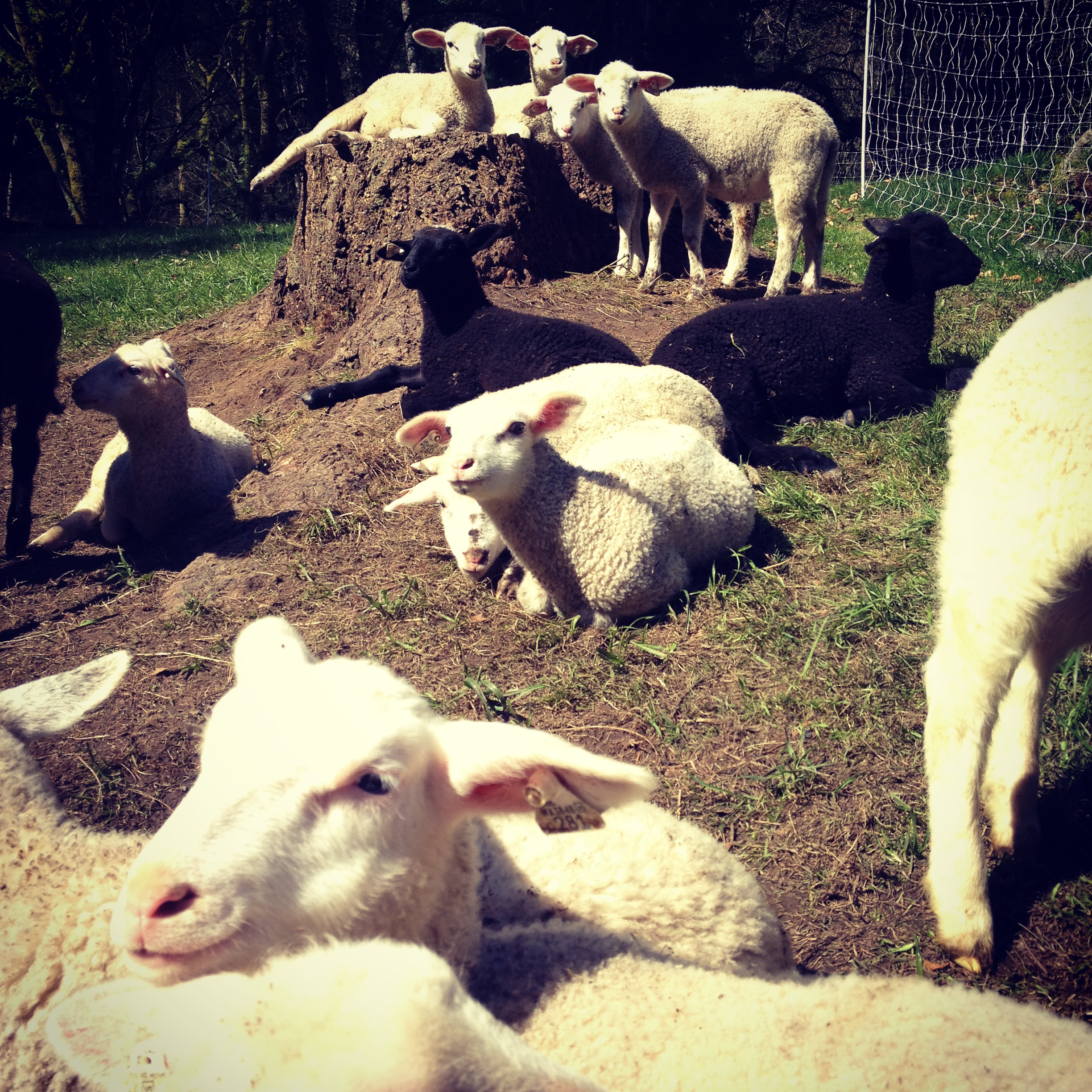 Glendale Shepherd's baby lambs born January and February 2015