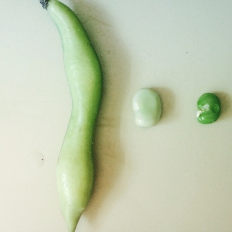 Anatomy of a fava bean.
