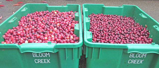 Bloom Creek Cranberry Farm now grows two types of crans -- Stevens (left) and Willapa Red (right). Photo credit: Bloom Creek Cranberry Farm.