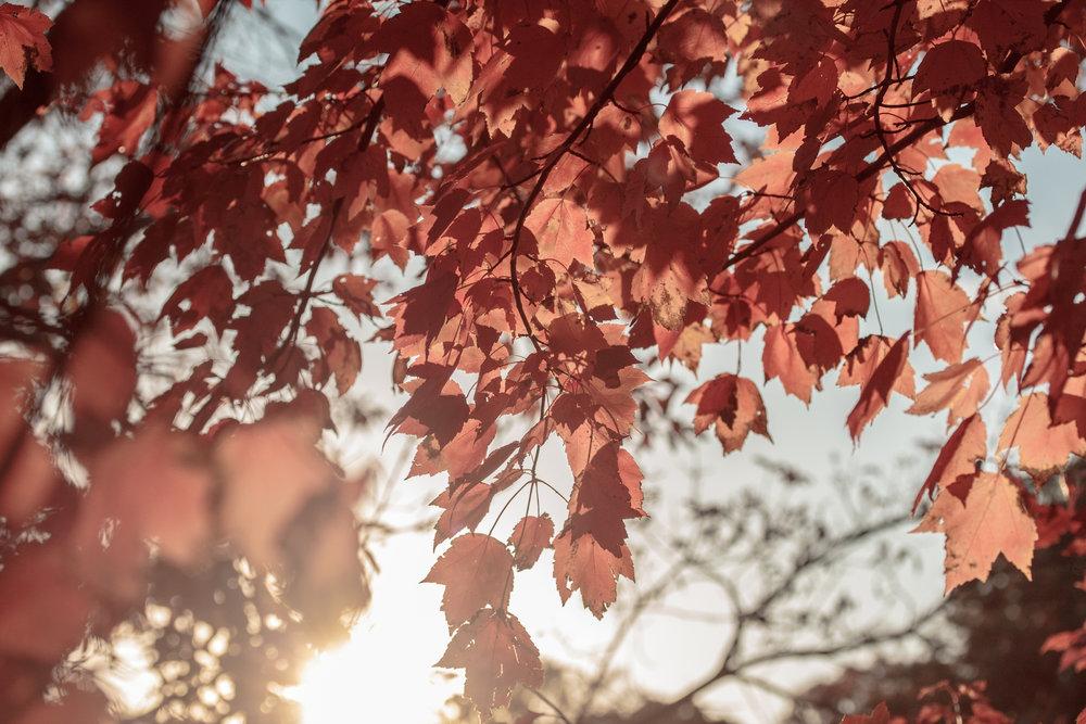 leafsunset2.jpg