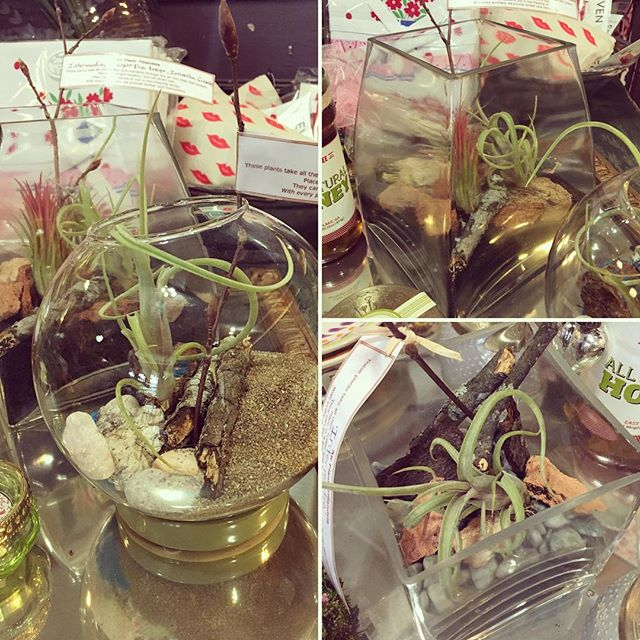 My mother -- master of many talents -- has put together some precious air plant terrariums. Stop in to peruse her collection, they are ready for their new homes! #airplantsofinstagram #athensga #frontierfavs @bootsrr