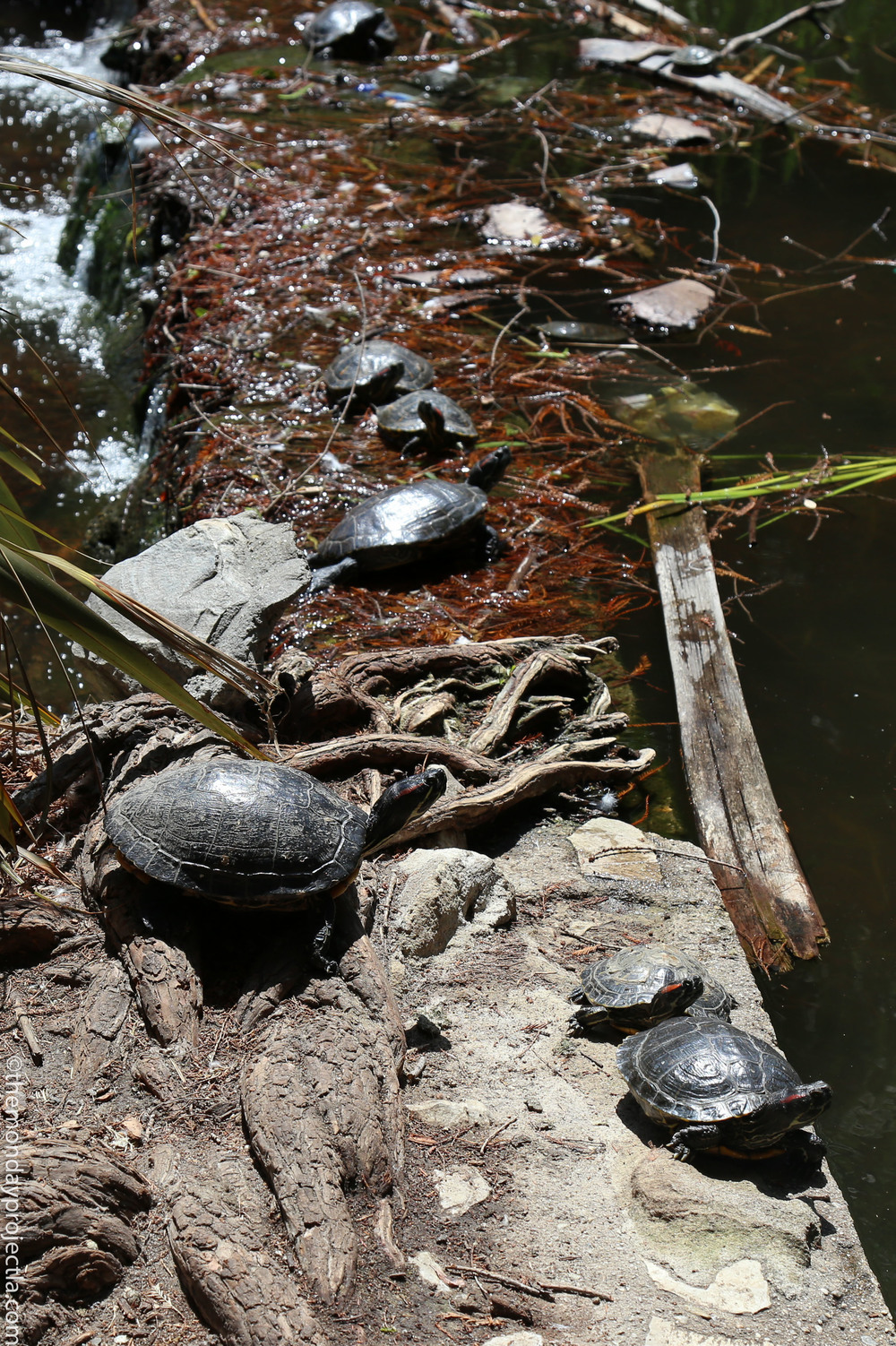 Averill turtles