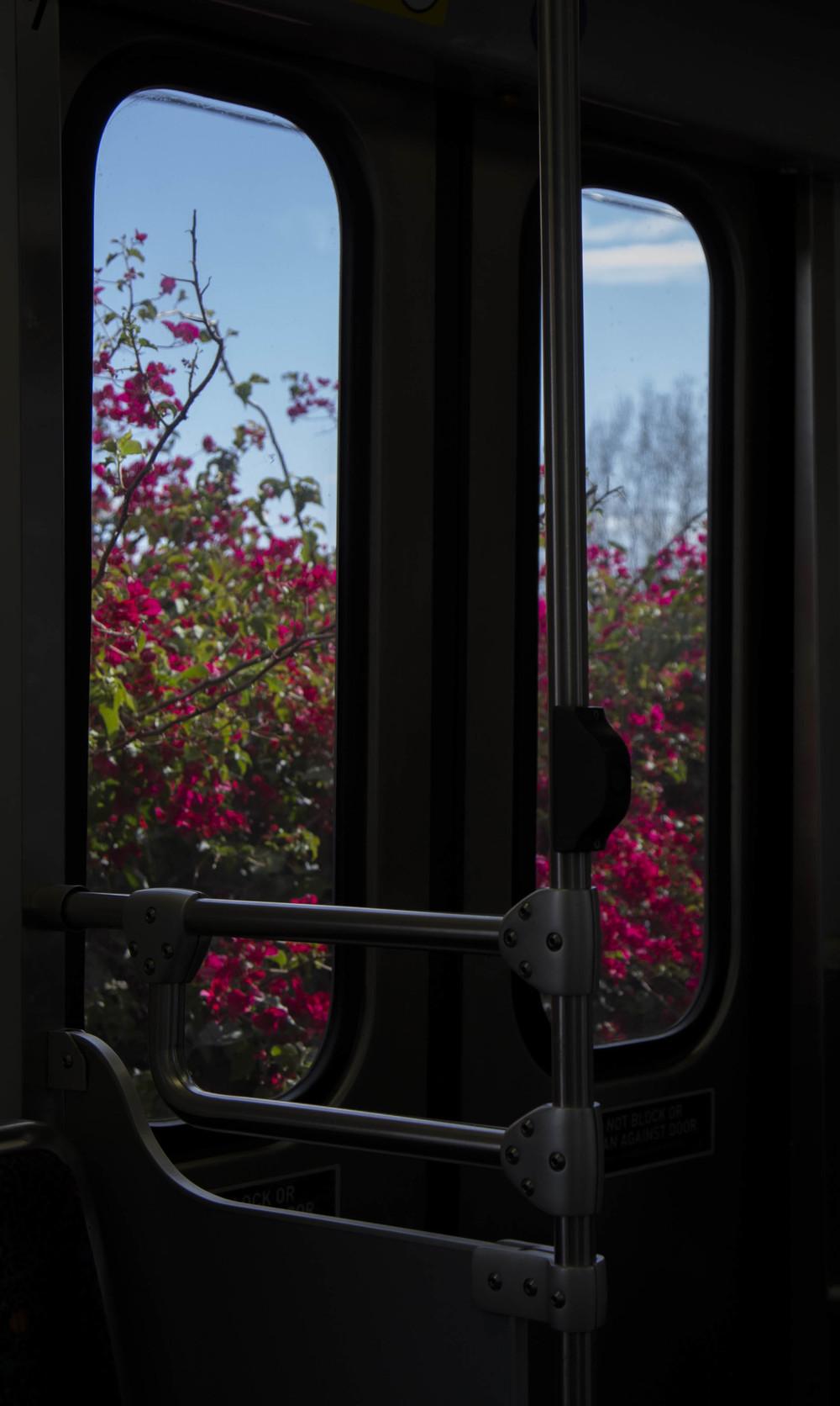 Bougainvillea just outside the window