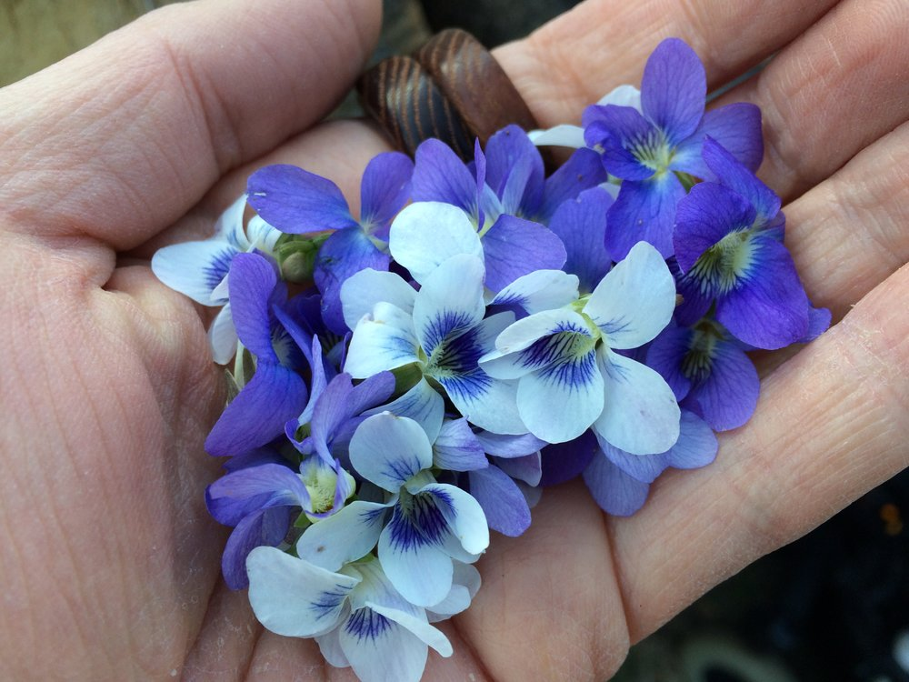 Image Description: A cupped hand is filled with white and purple violets.