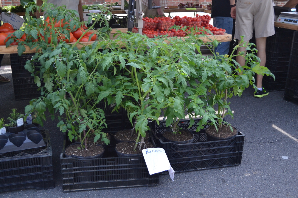 Grow your own tomatos (or tomahtos)