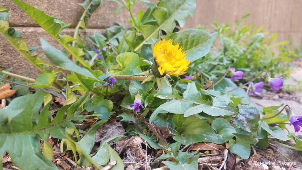 The ubiquitous dandelion