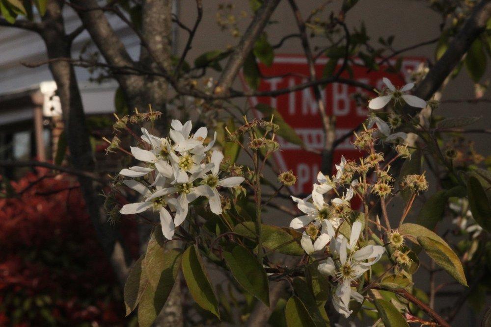 Serviceberry tree on Upshur Street.
