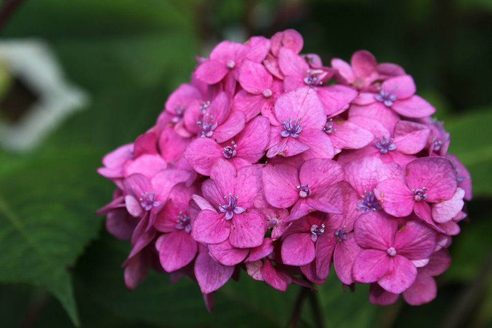 Close up of pink hydrangea flowers on 4th St.