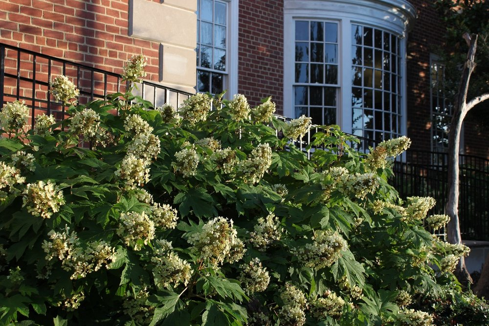 Oak-leaf hydrangeas in front of the Petworth Library.  After starting off white, the flowers have now faded to more of a cream color.