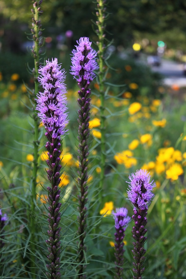 Liatris spikes just starting to bloom in the flower garden in Grant Circle.