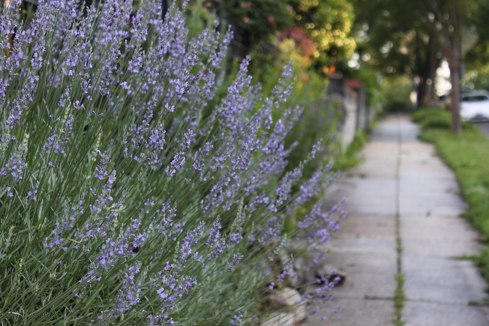 Lavender spilling over a retaining wall on 9th St.