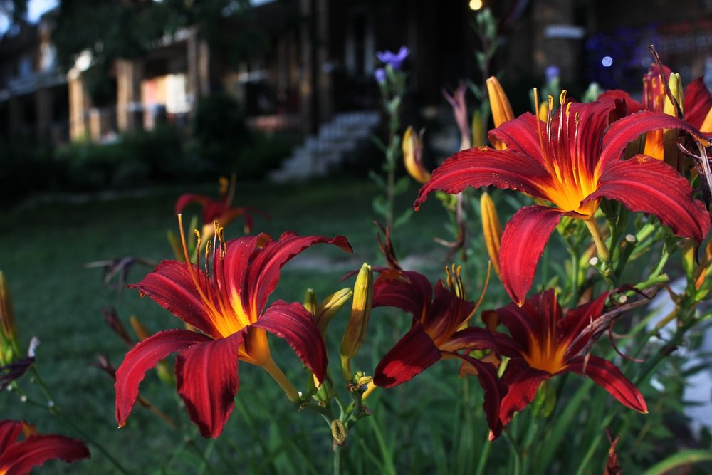 Daylilies on the outside of Sherman Circle.