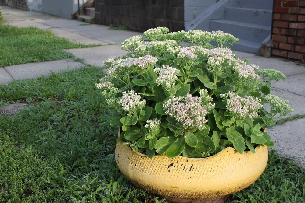 Sedum is often planted in these cool planters made from old tires. Buchanan Street NW.