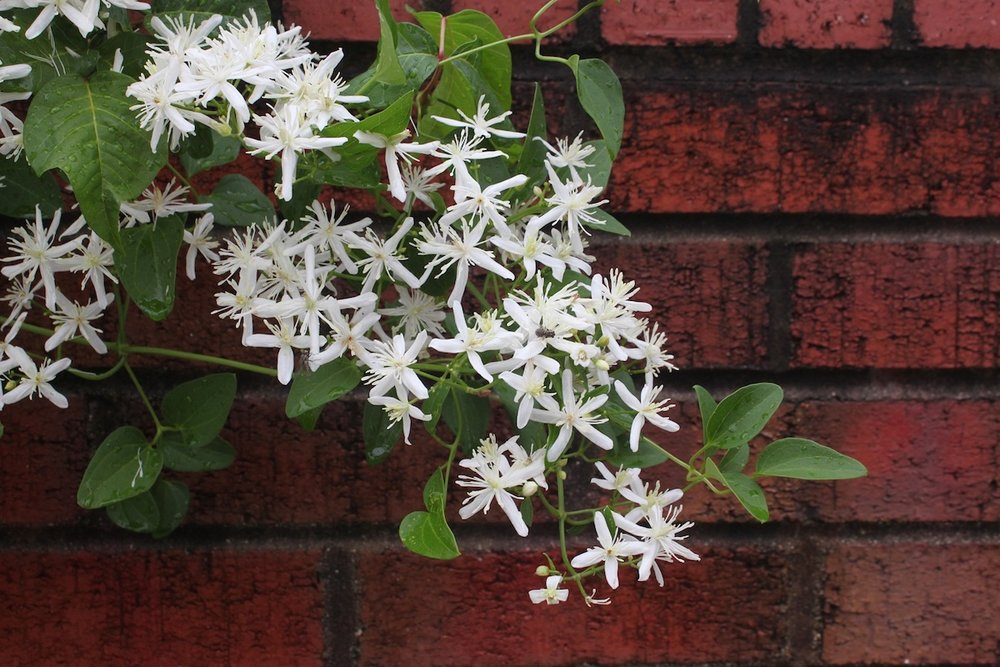 A Japanese clematis looking artsy in front of a brick wall.