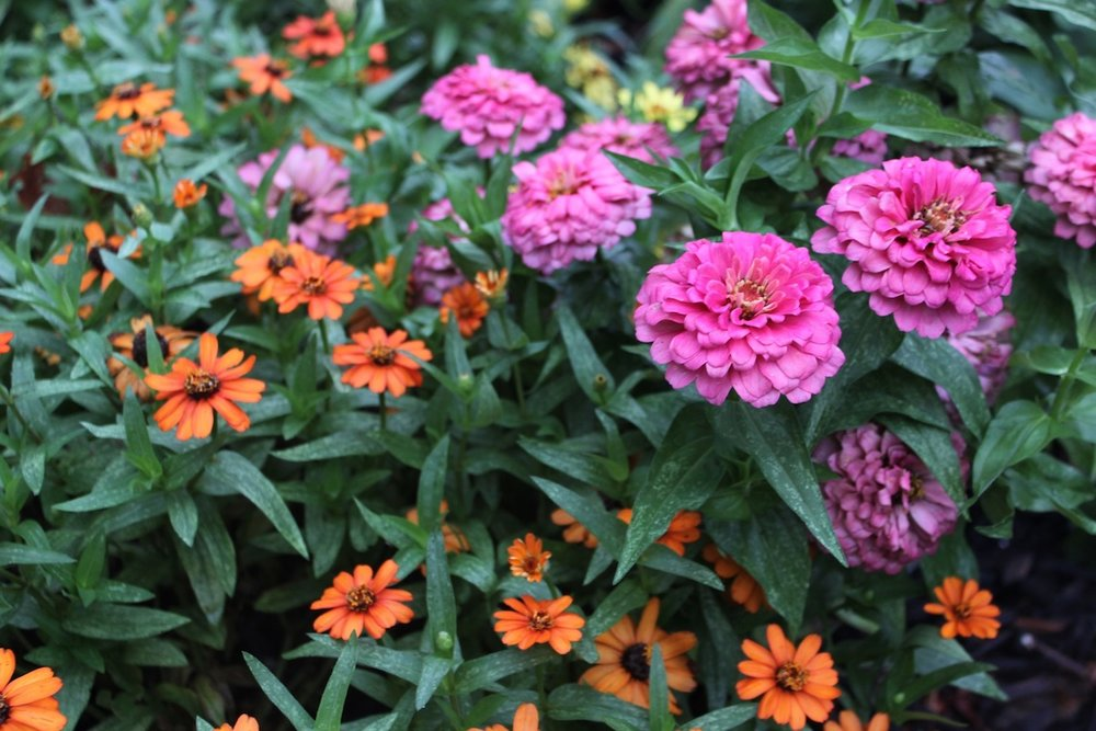 Orange and pink zinnias in the curb strip along Decatur Street.